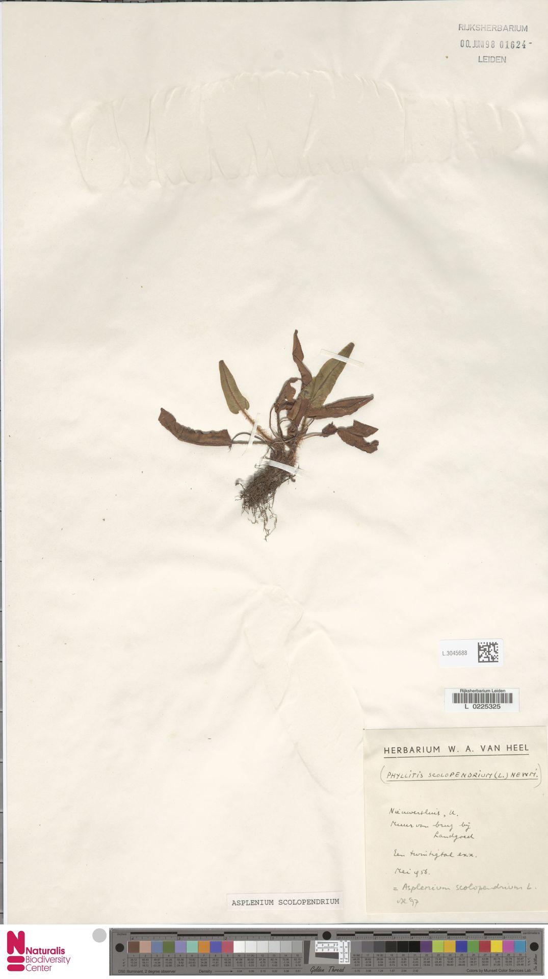 L.3045688 | Asplenium scolopendrium L.