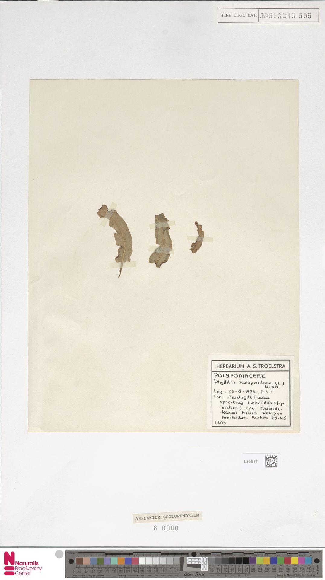 L.3045691 | Asplenium scolopendrium L.