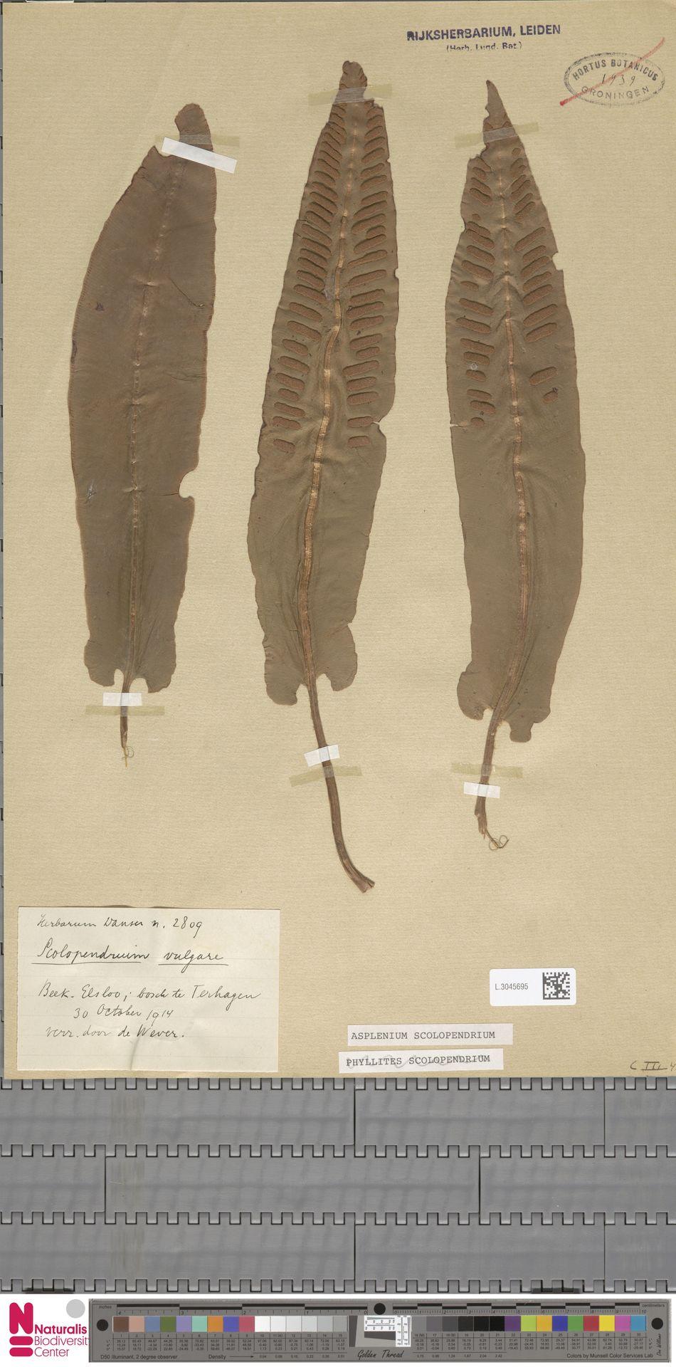L.3045695 | Asplenium scolopendrium L.