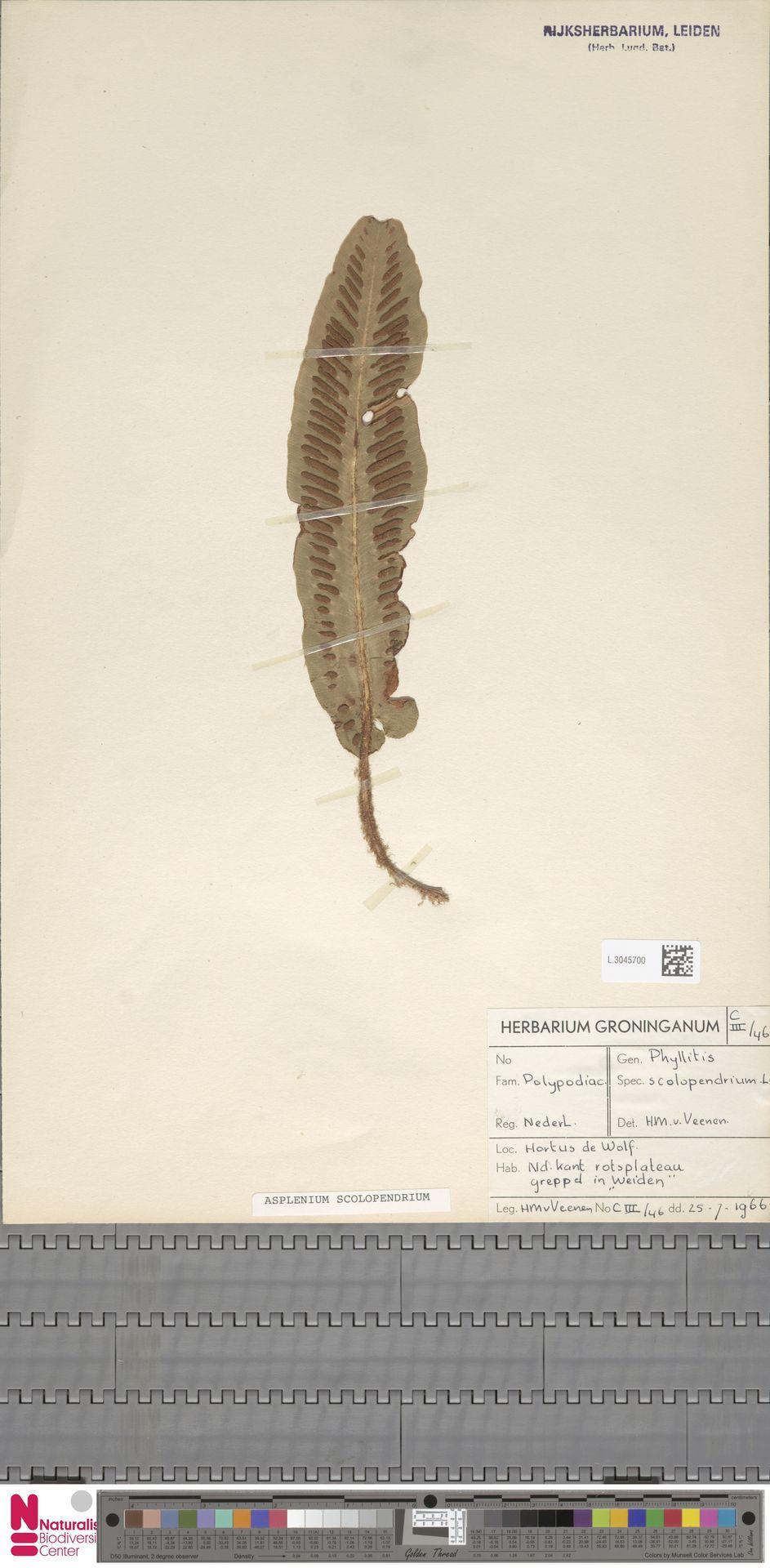 L.3045700 | Asplenium scolopendrium L.
