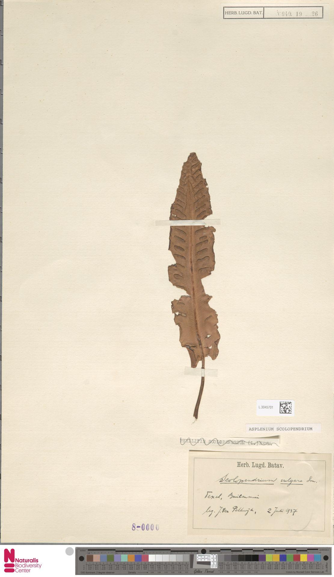 L.3045701 | Asplenium scolopendrium L.