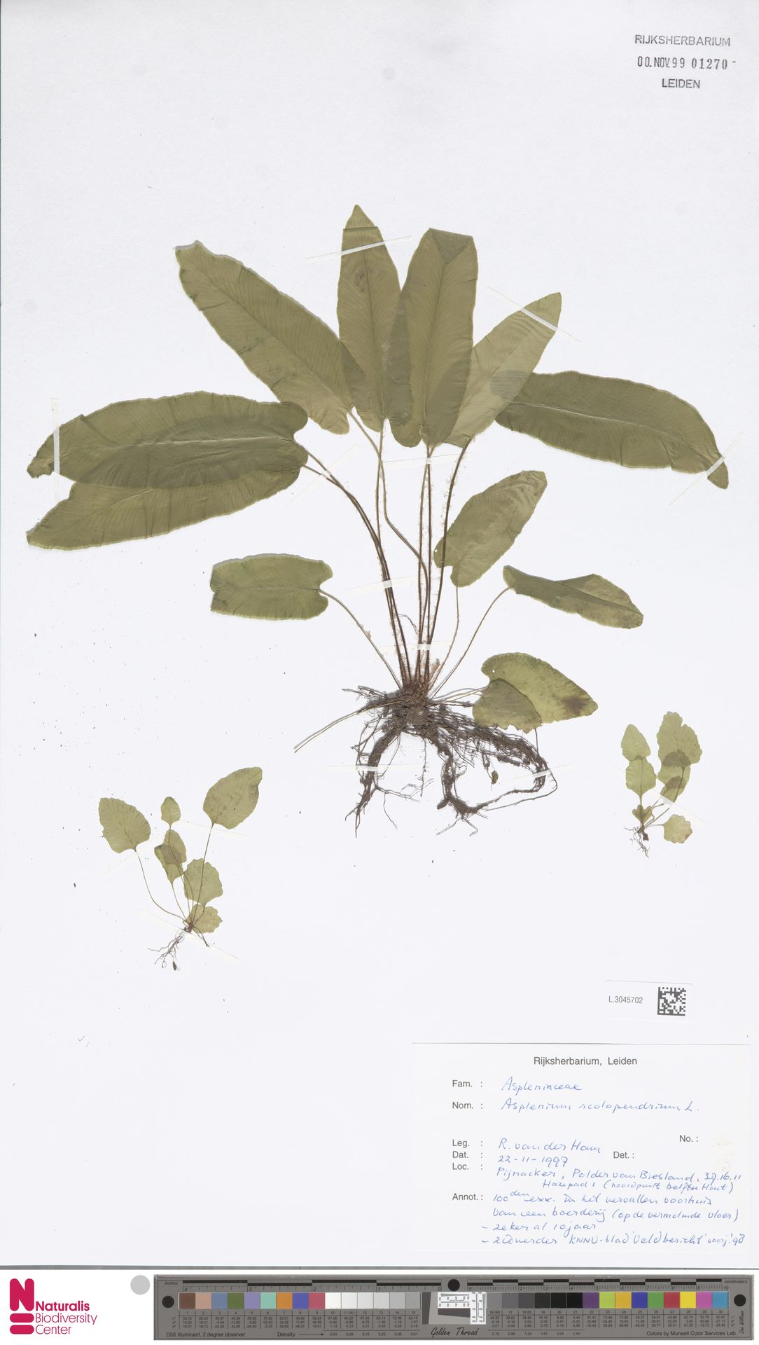 L.3045702 | Asplenium scolopendrium L.