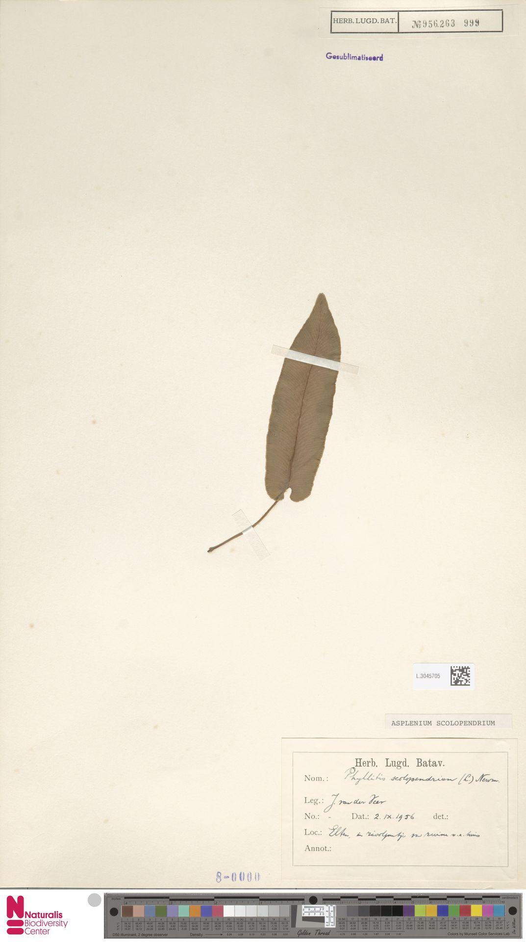 L.3045705 | Asplenium scolopendrium L.