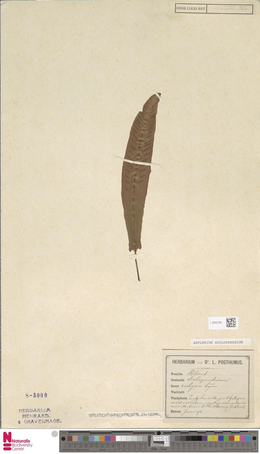 L.3045706 | Asplenium scolopendrium L.