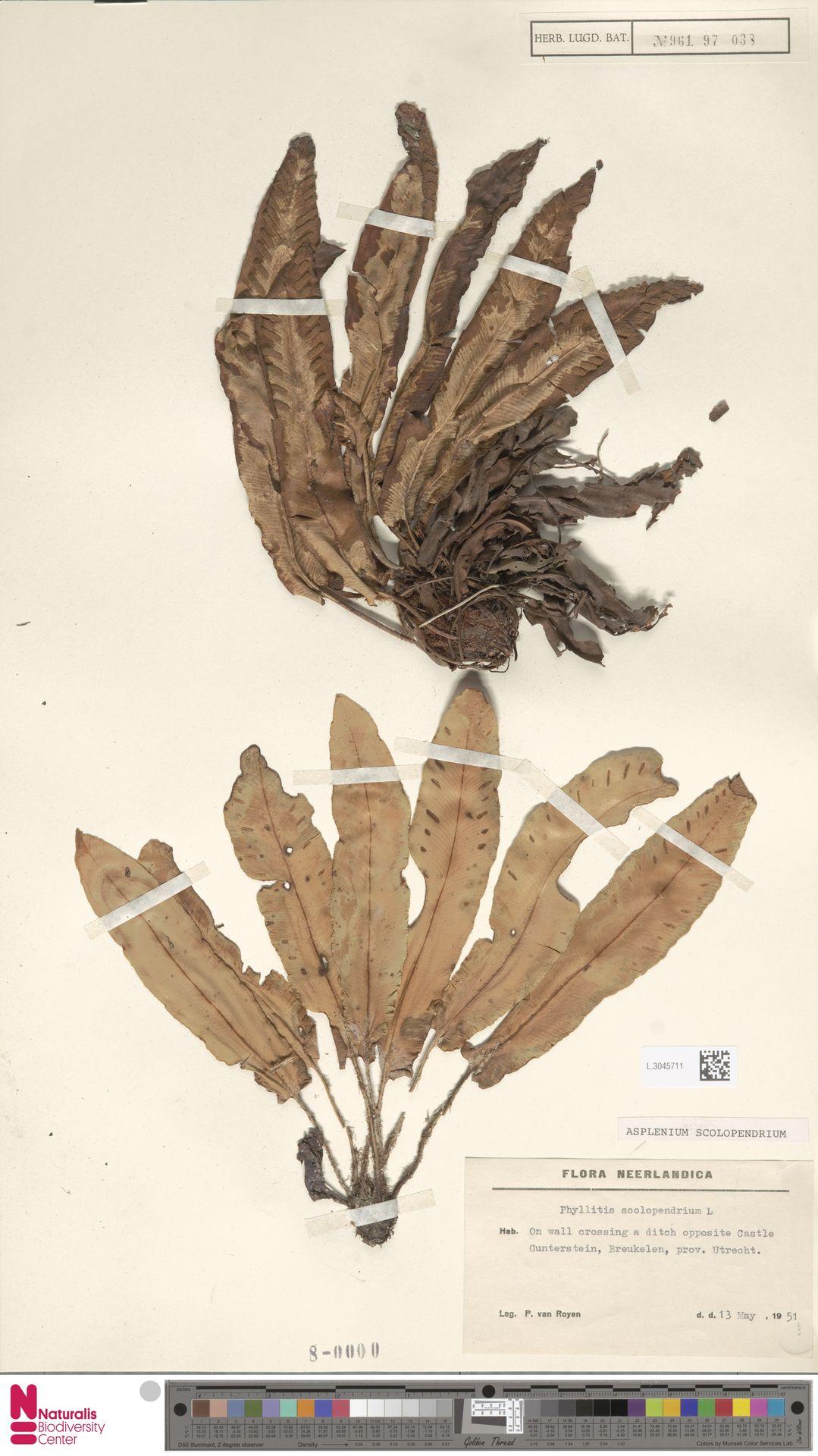 L.3045711 | Asplenium scolopendrium L.