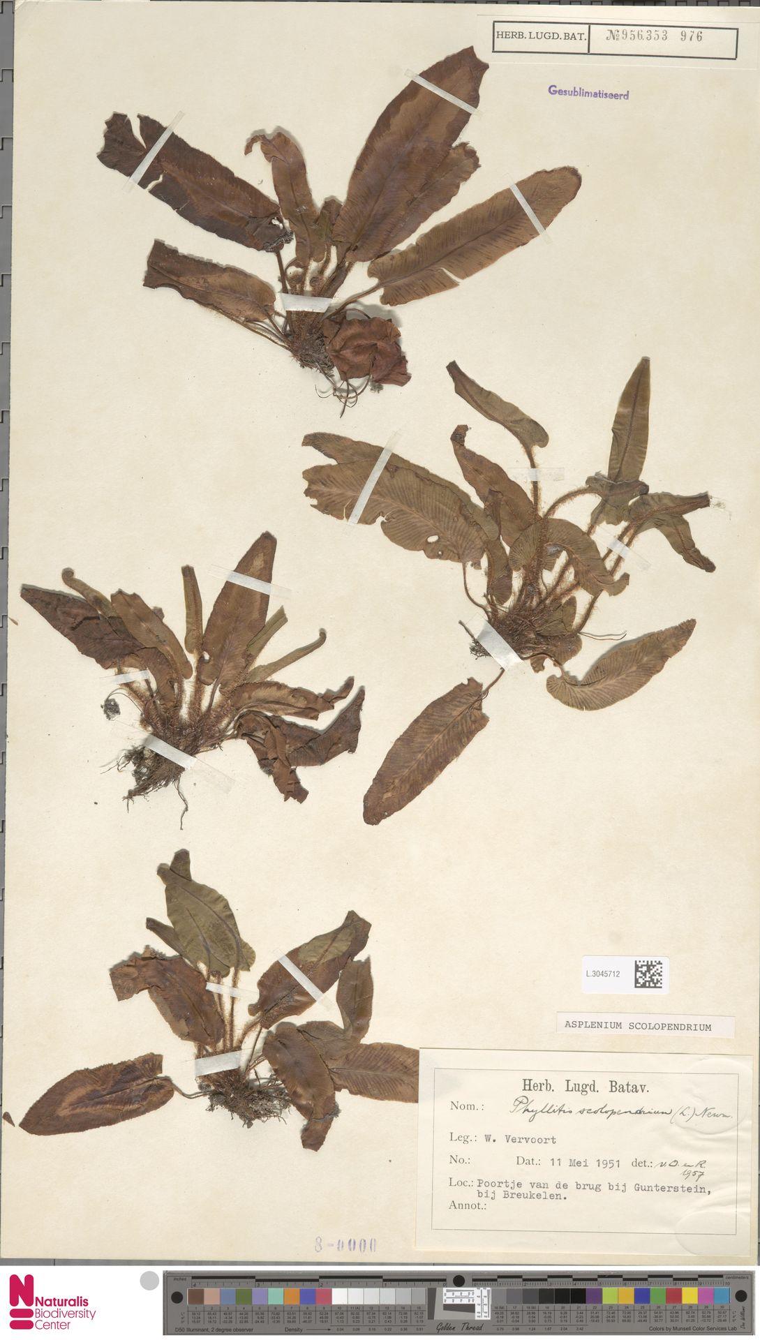 L.3045712   Asplenium scolopendrium L.