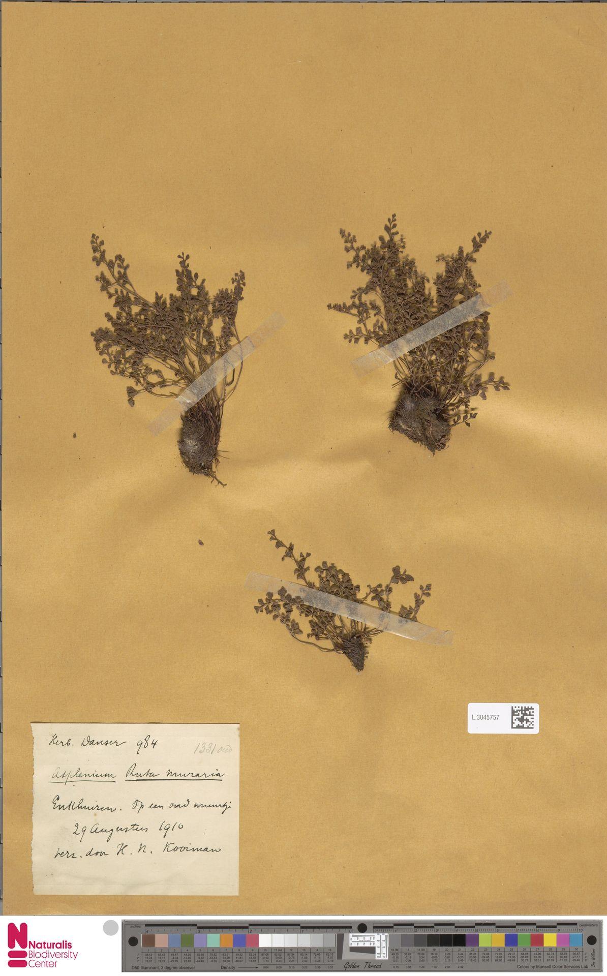L.3045757 | Asplenium ruta-muraria L.