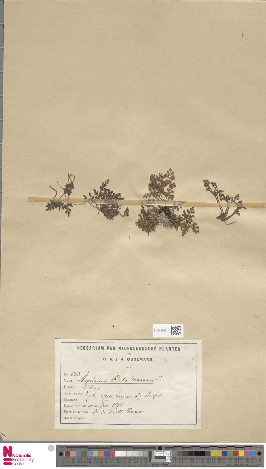 L.3045760 | Asplenium ruta-muraria L.