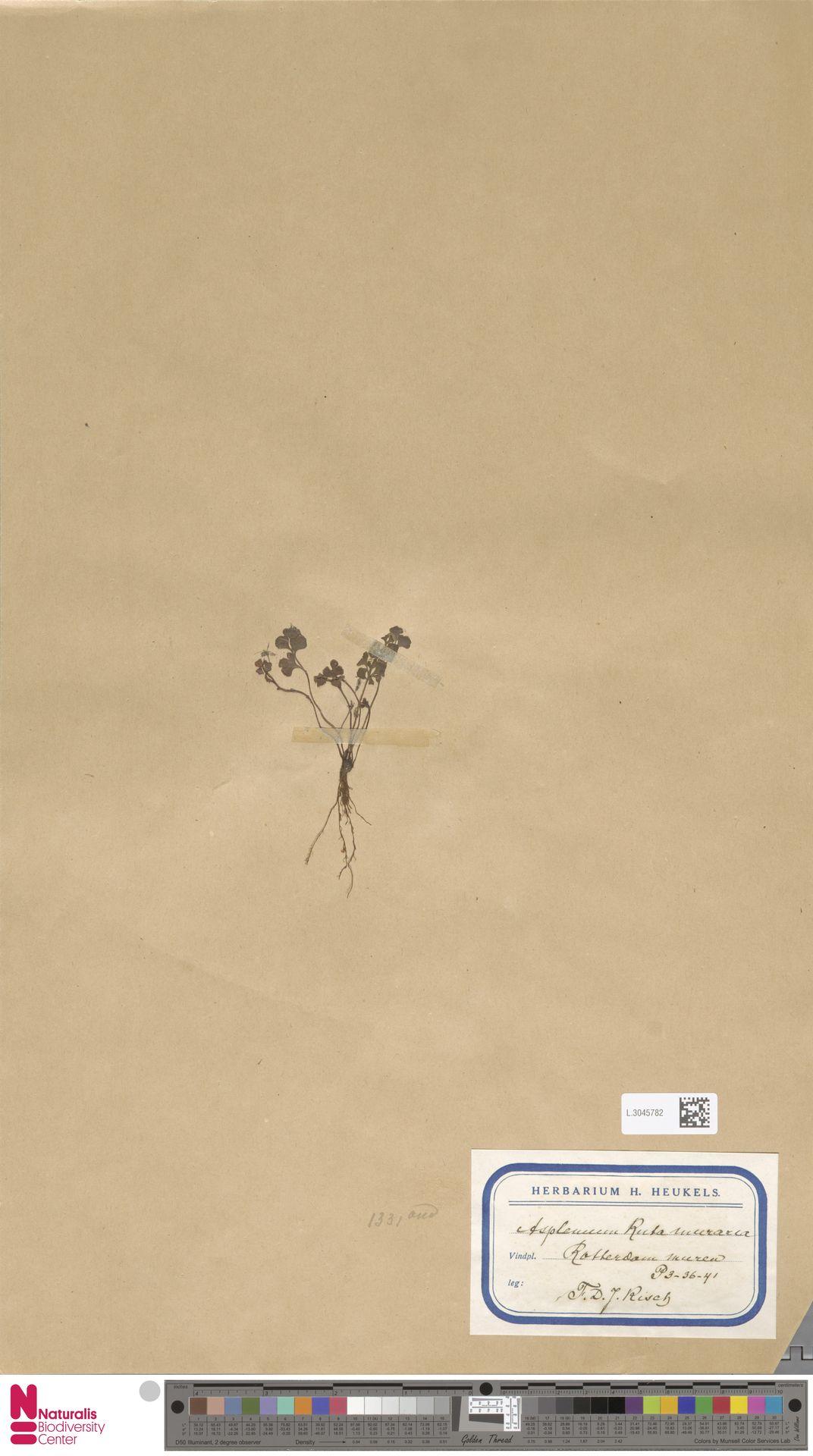 L.3045782 | Asplenium ruta-muraria L.