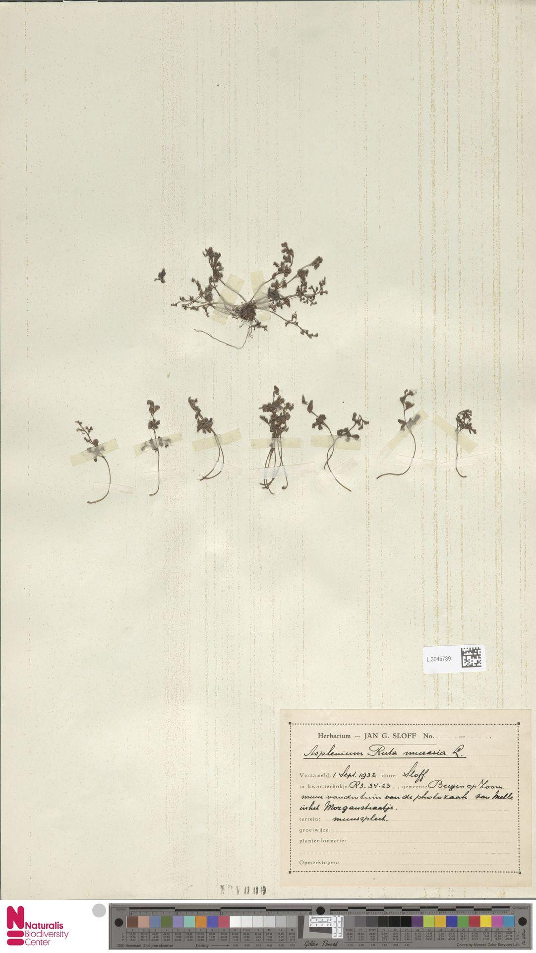 L.3045789 | Asplenium ruta-muraria L.