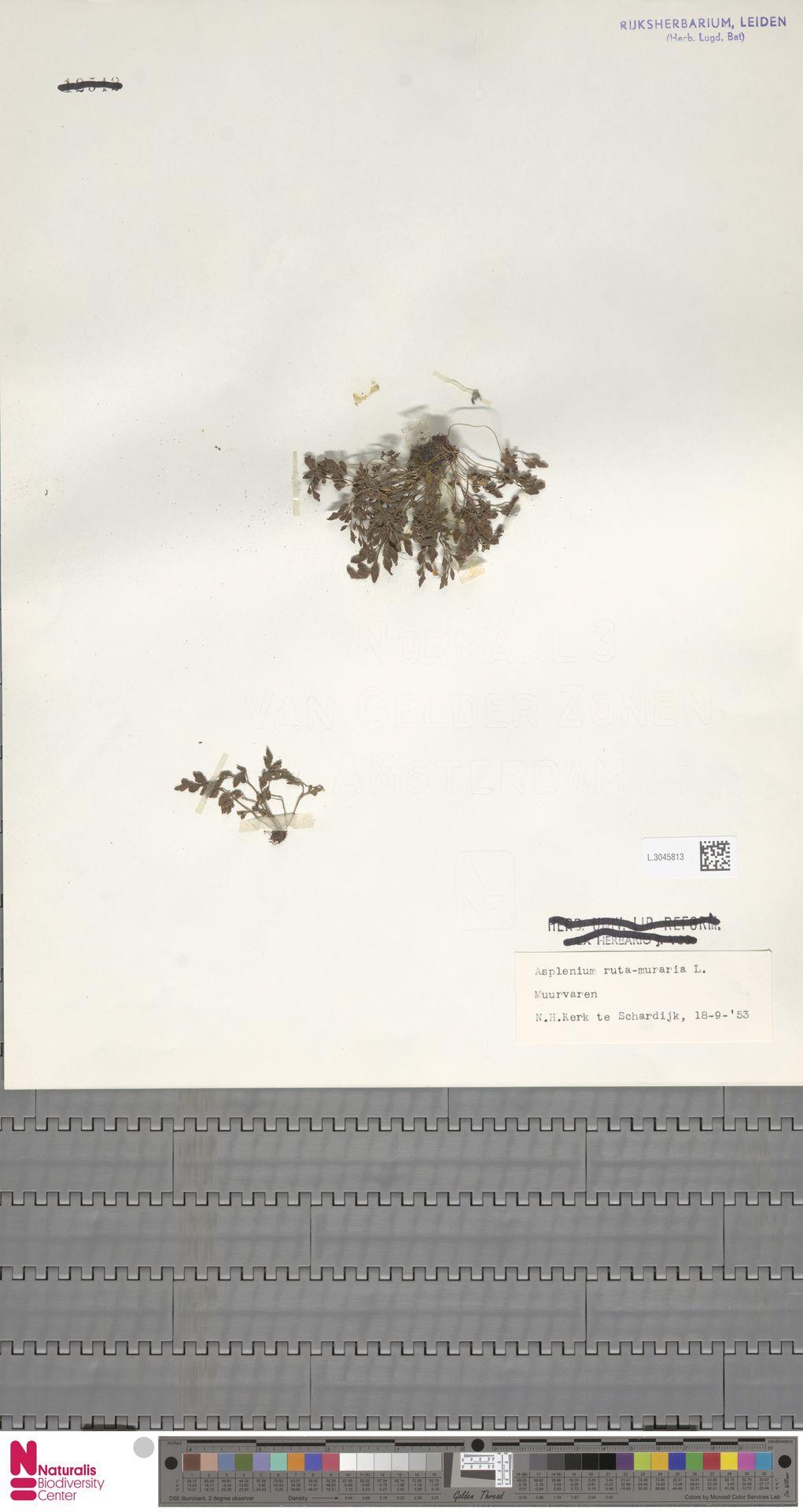 L.3045813 | Asplenium ruta-muraria L.