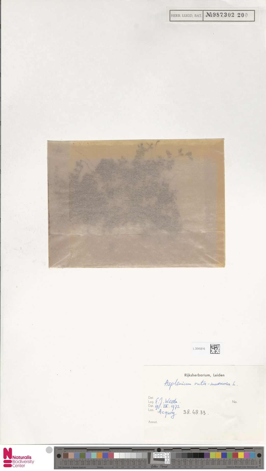 L.3045816 | Asplenium ruta-muraria L.