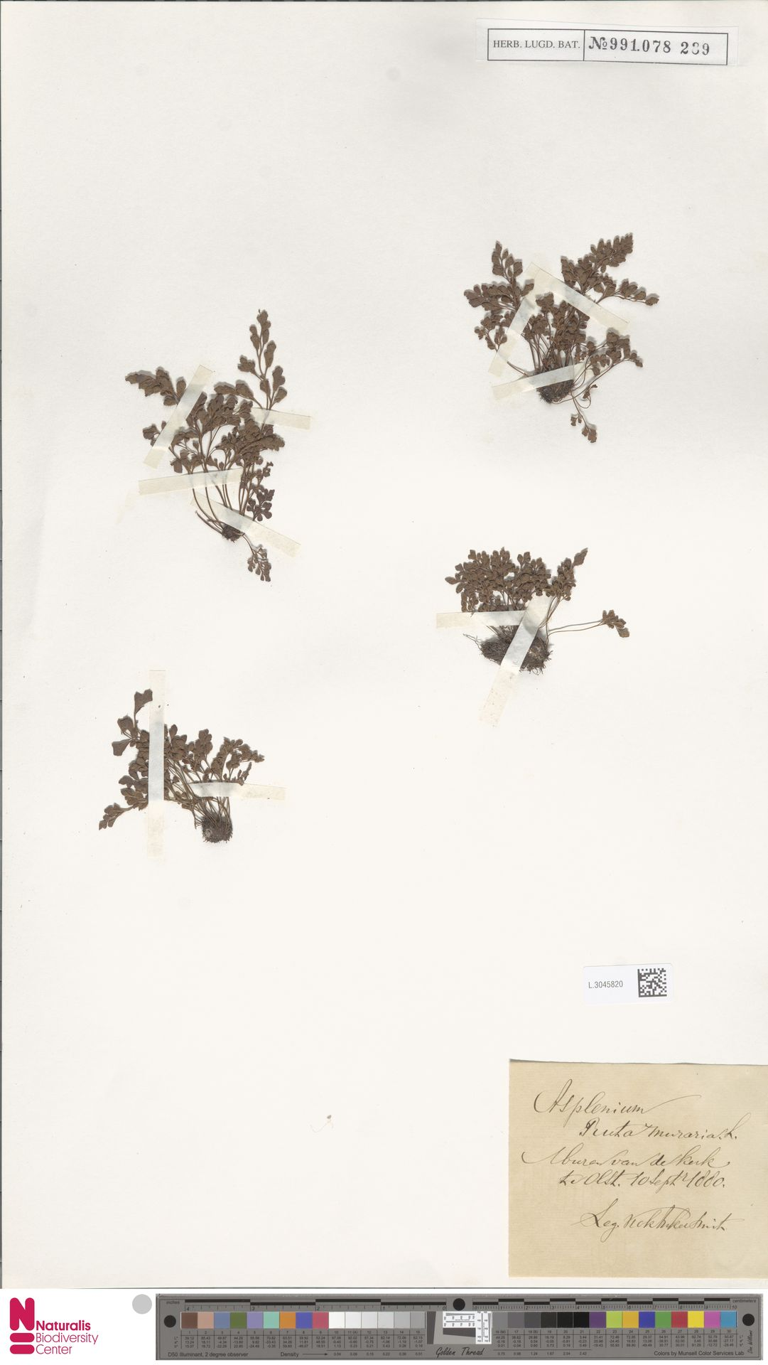 L.3045820 | Asplenium ruta-muraria L.