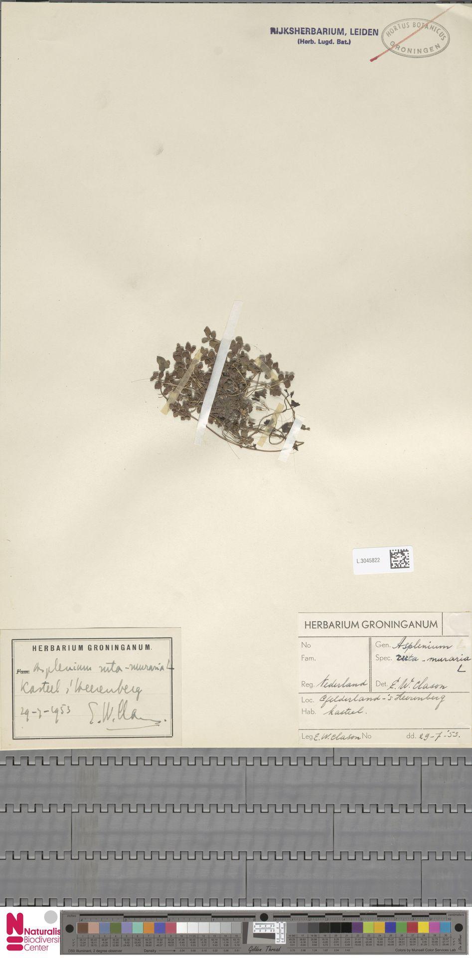 L.3045822 | Asplenium ruta-muraria L.