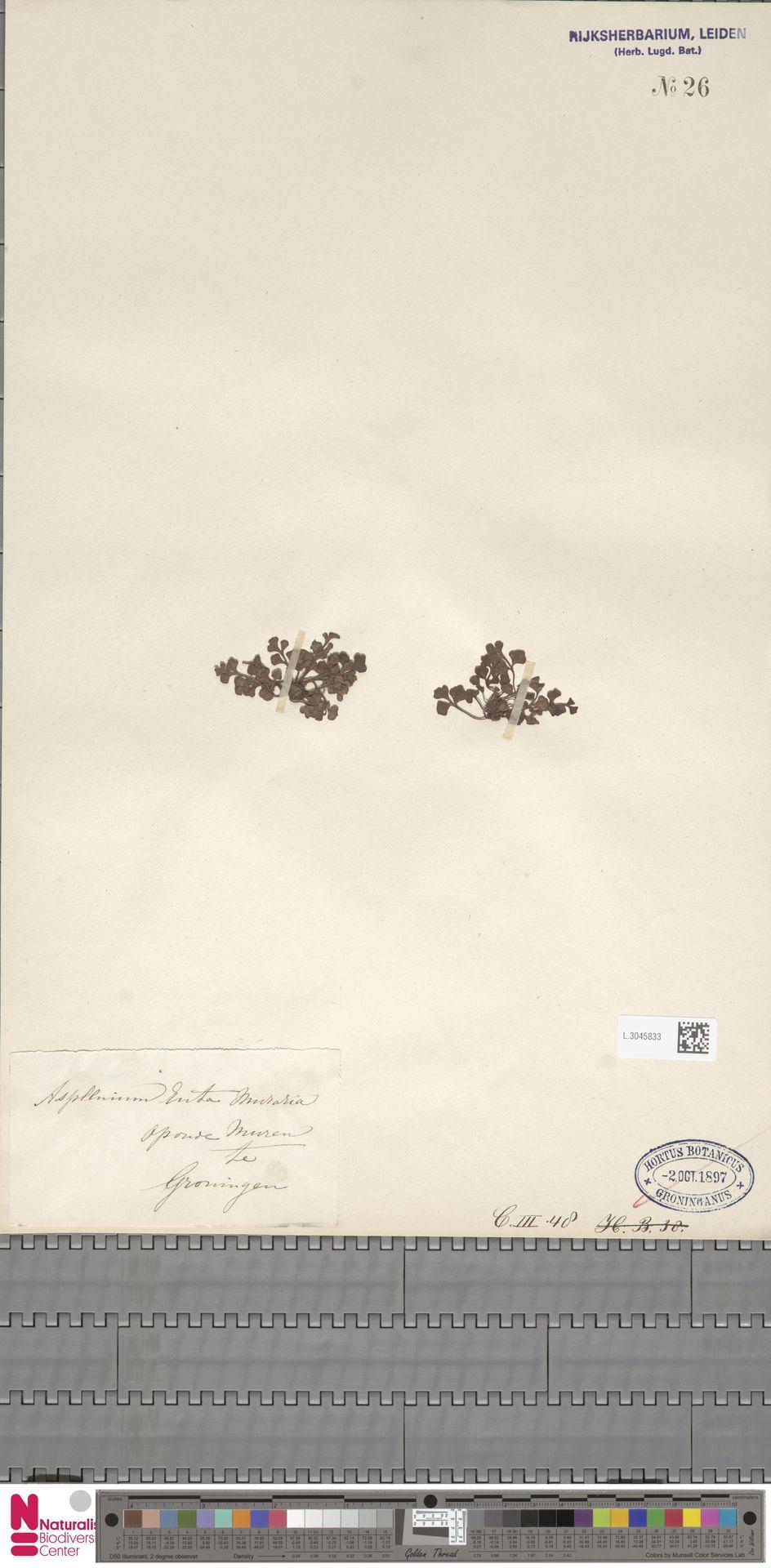 L.3045833 | Asplenium ruta-muraria L.