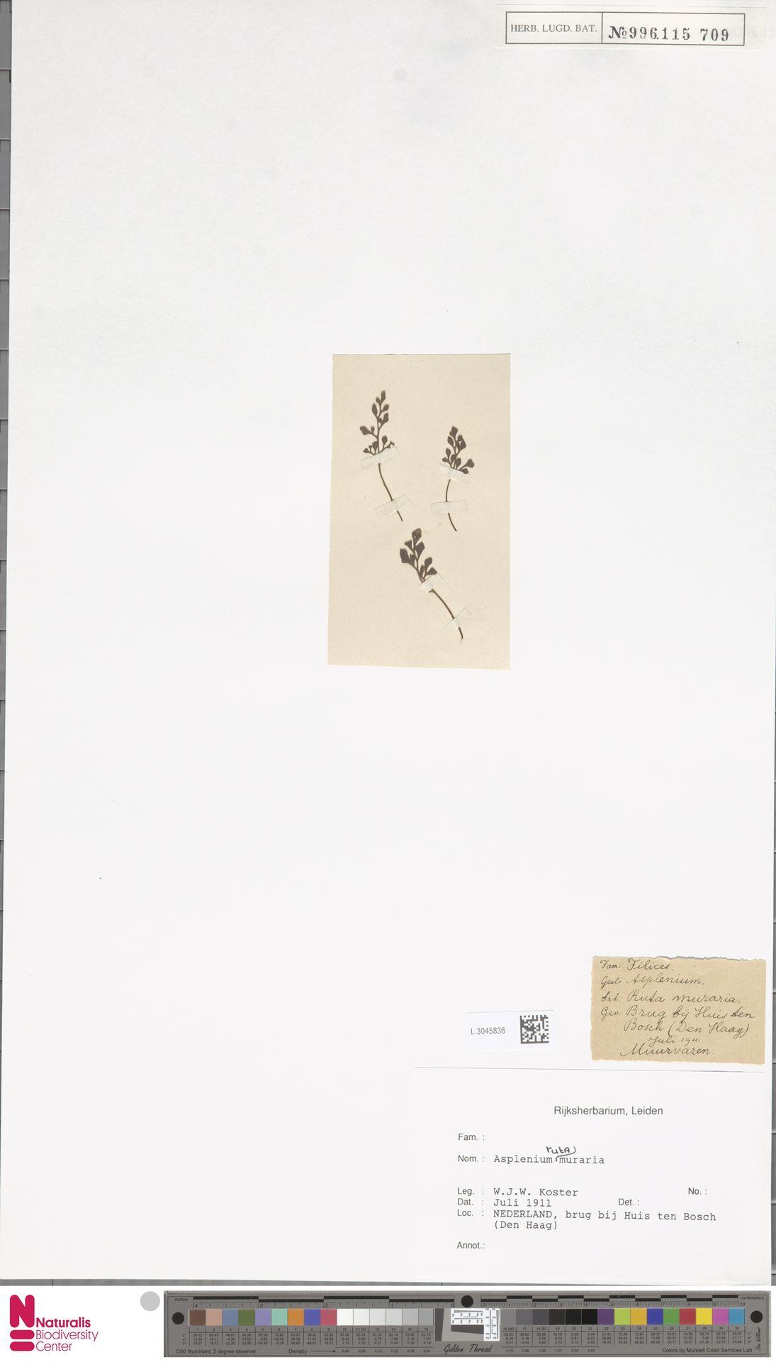 L.3045836 | Asplenium ruta-muraria L.