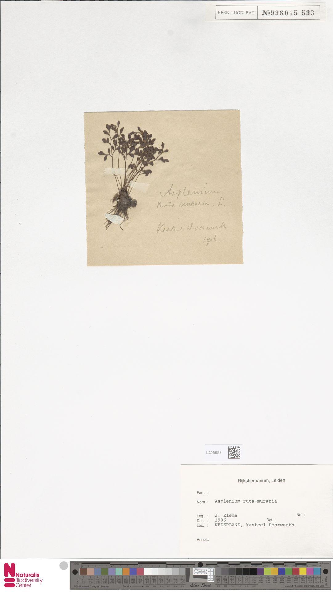L.3045837 | Asplenium ruta-muraria L.