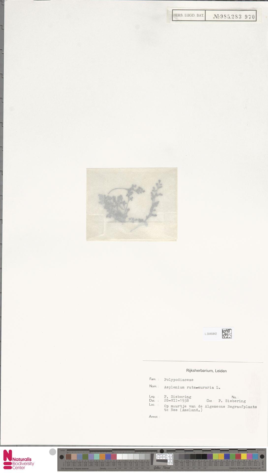 L.3045842 | Asplenium ruta-muraria L.