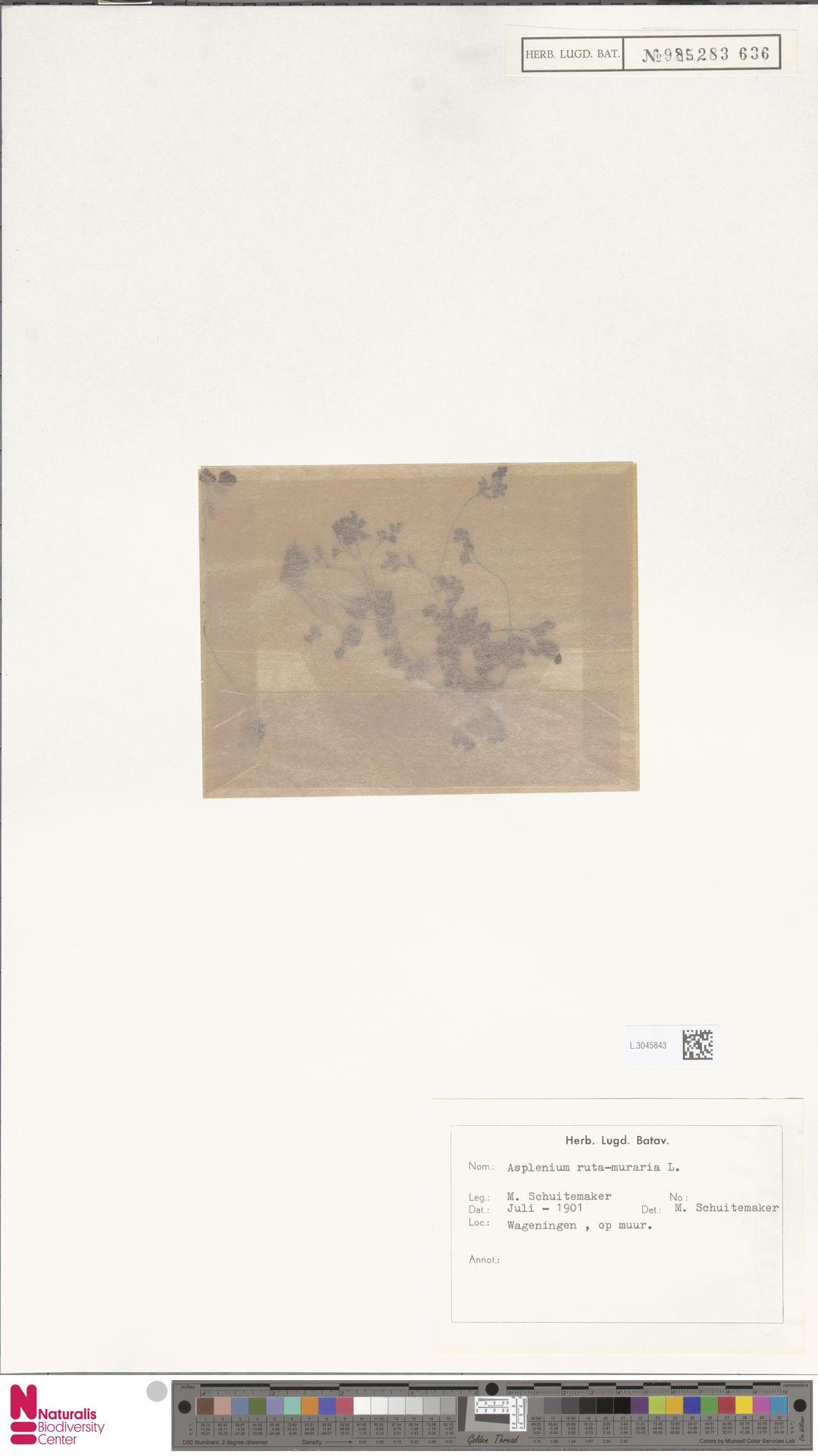 L.3045843 | Asplenium ruta-muraria L.