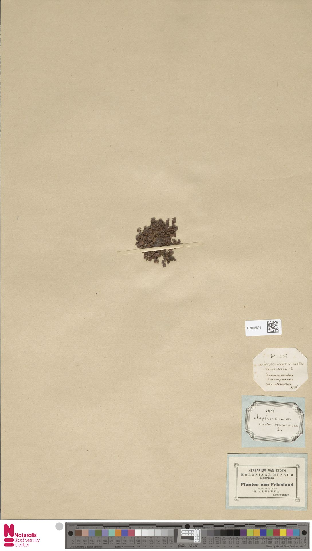L.3045854 | Asplenium ruta-muraria L.