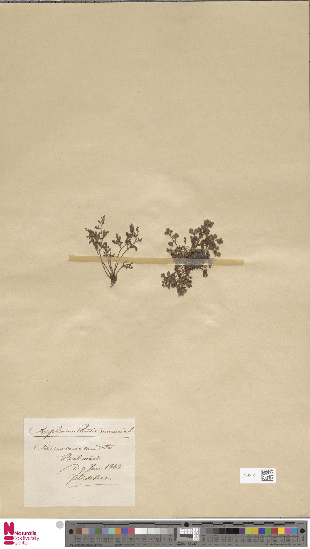 L.3045855 | Asplenium ruta-muraria L.