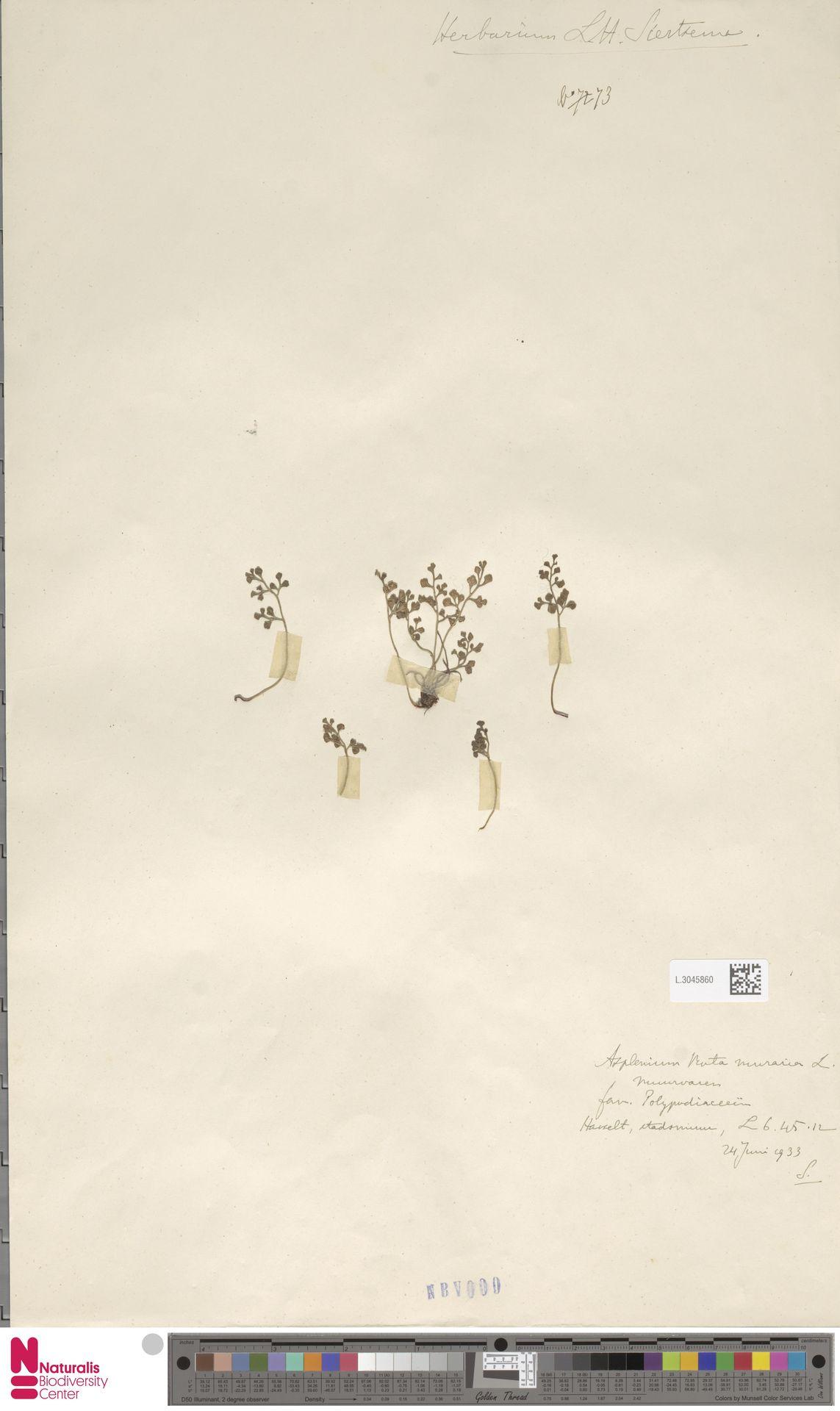 L.3045860 | Asplenium ruta-muraria L.