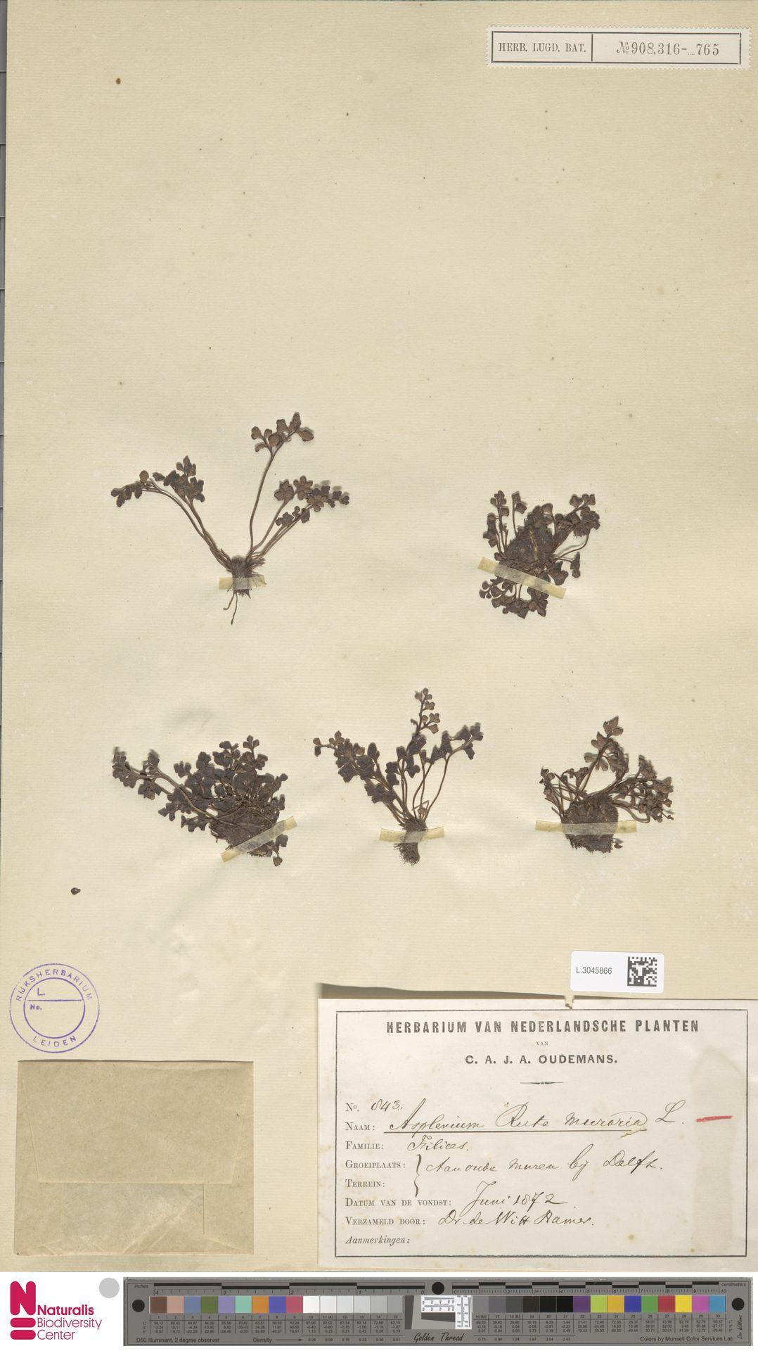 L.3045866 | Asplenium ruta-muraria L.