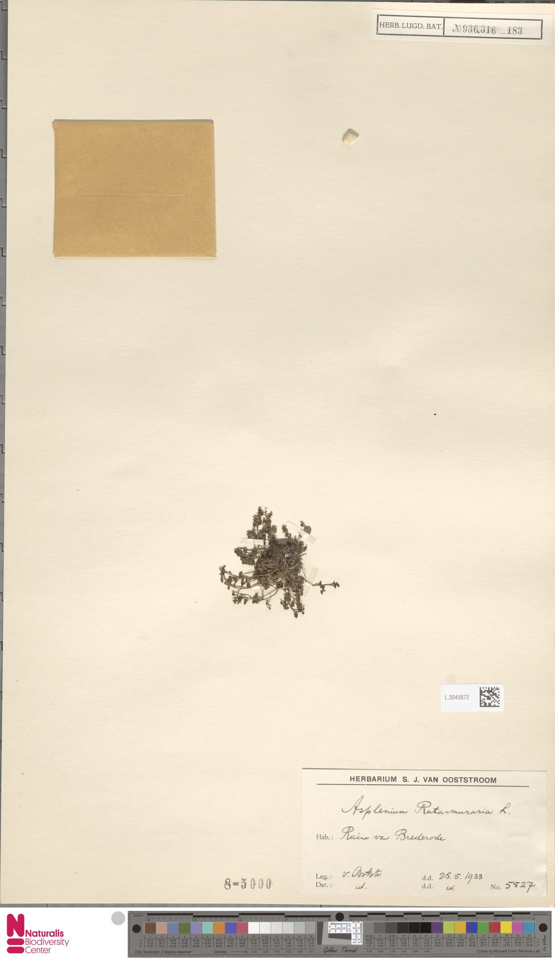 L.3045872 | Asplenium ruta-muraria L.