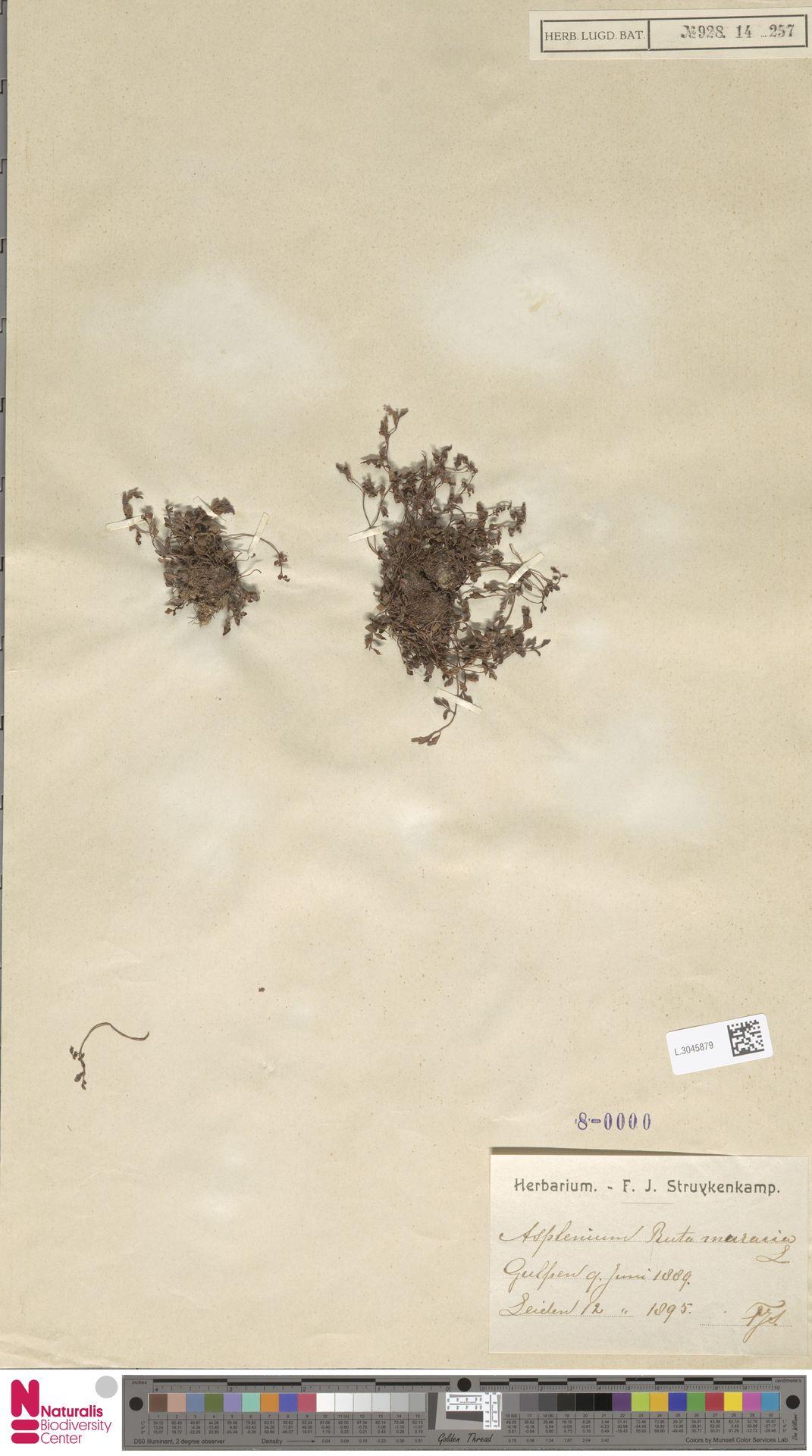 L.3045879   Asplenium ruta-muraria L.