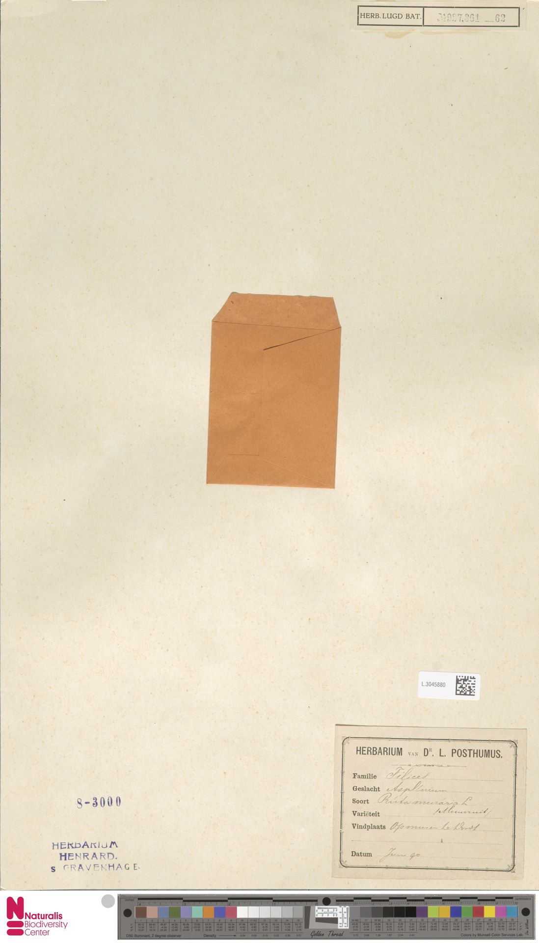 L.3045880 | Asplenium ruta-muraria L.