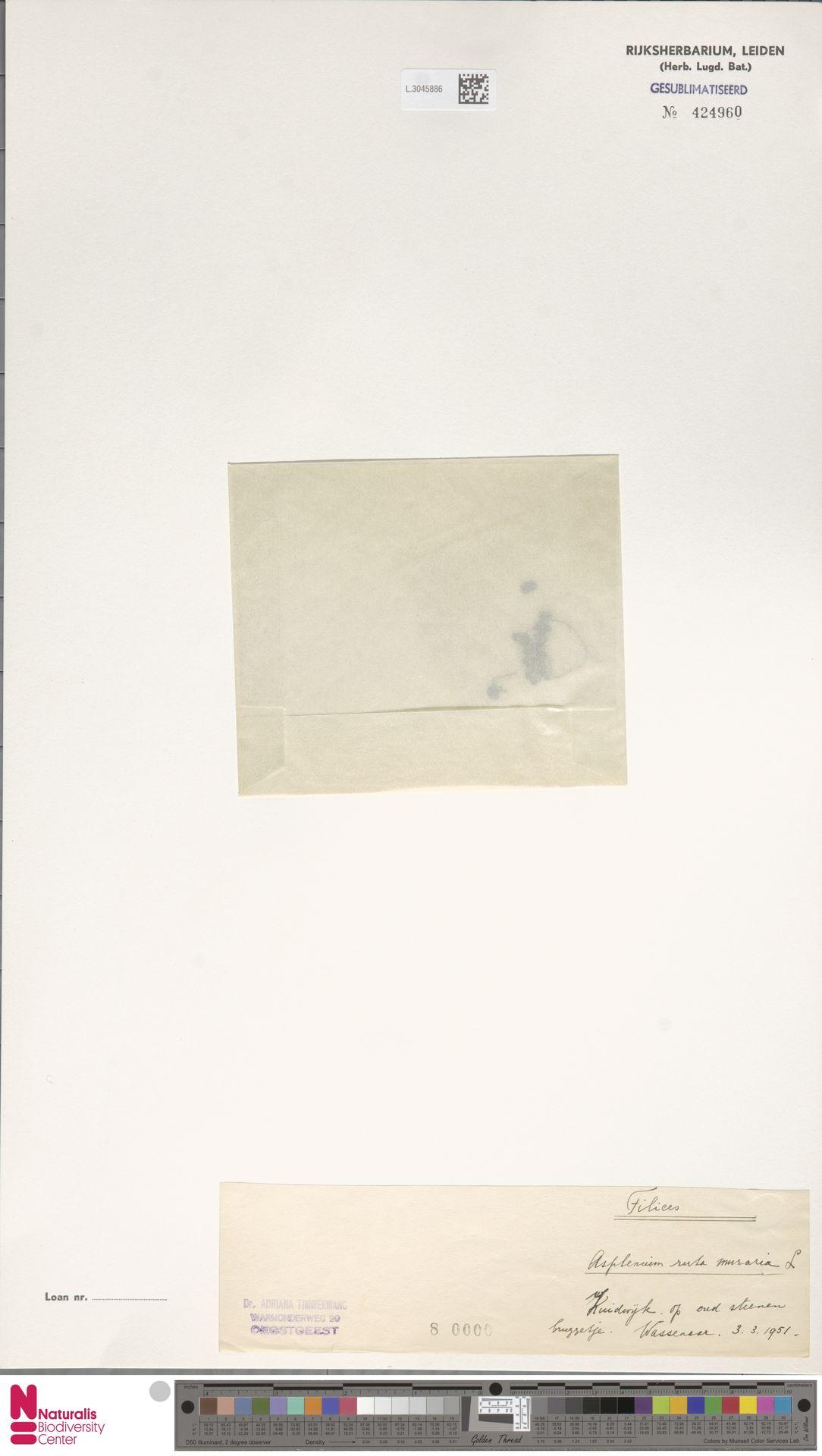 L.3045886 | Asplenium ruta-muraria L.