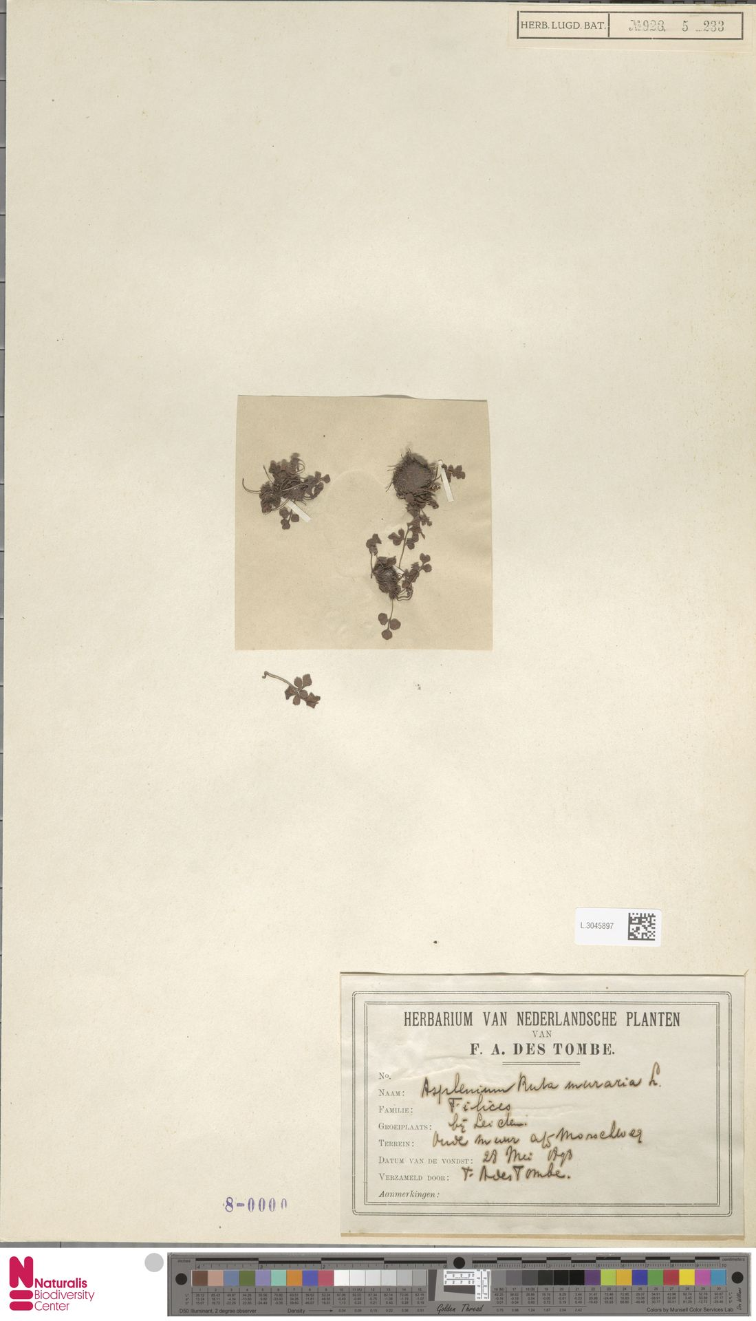 L.3045897 | Asplenium ruta-muraria L.