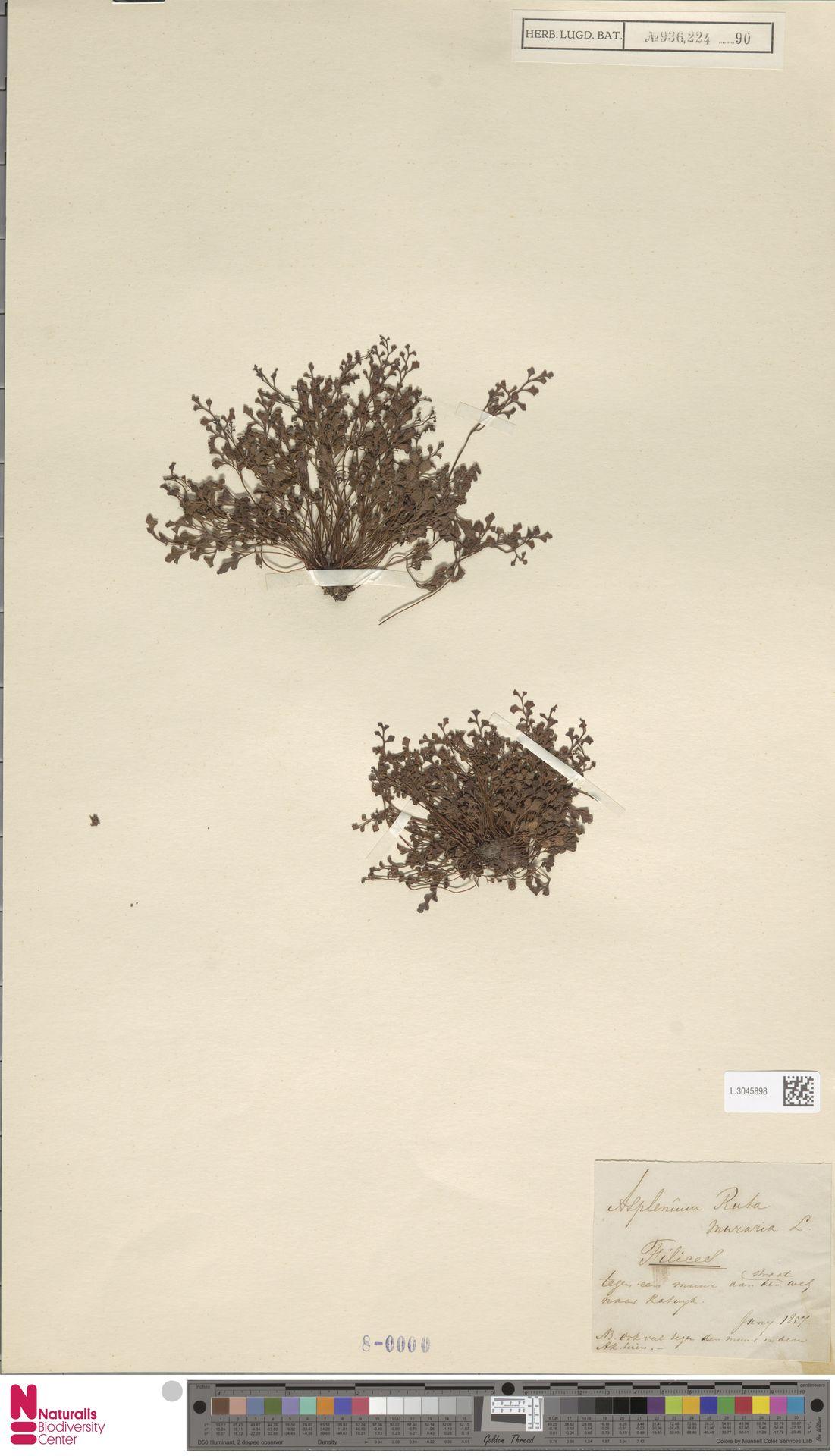 L.3045898 | Asplenium ruta-muraria L.
