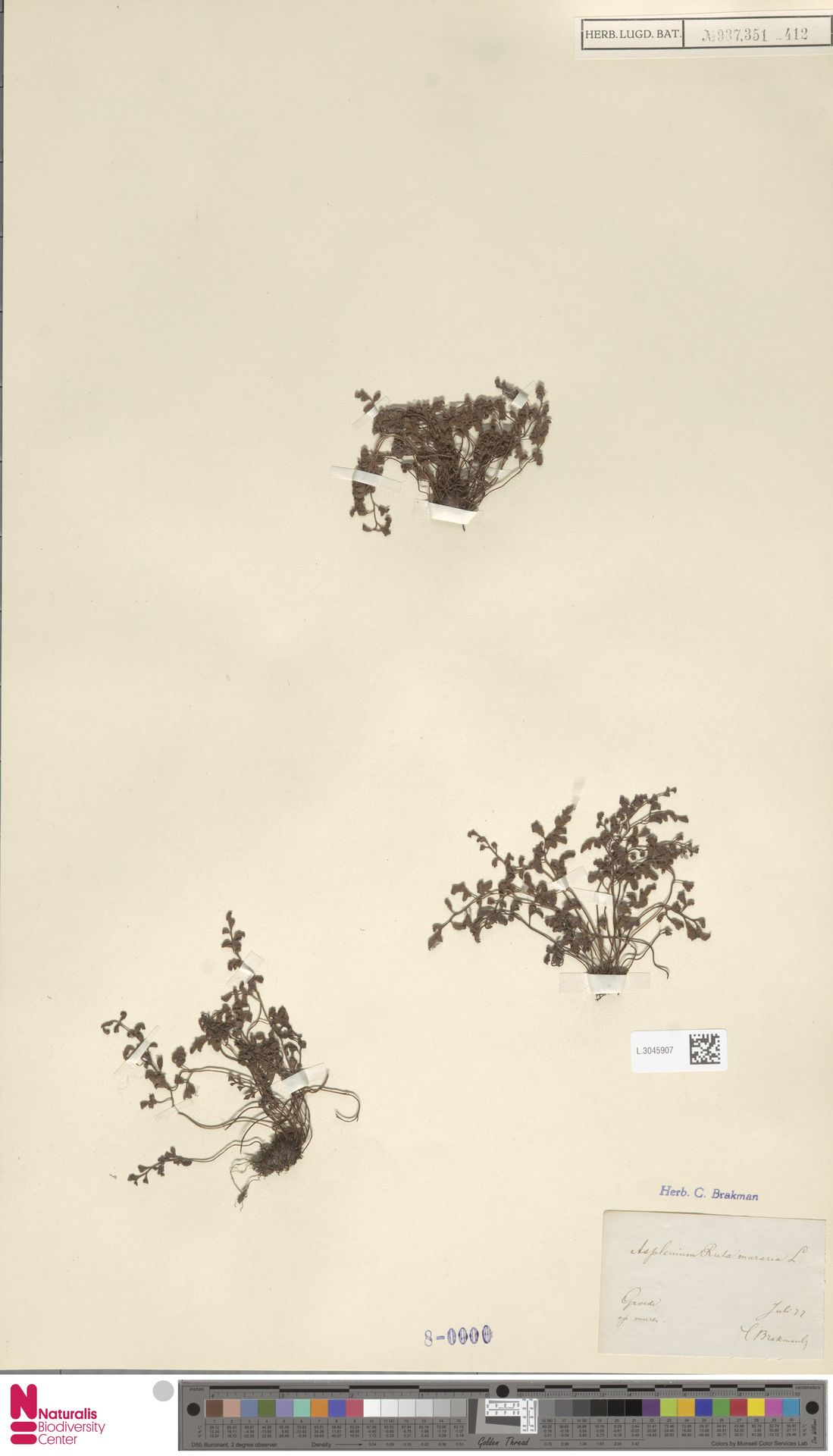 L.3045907 | Asplenium ruta-muraria L.