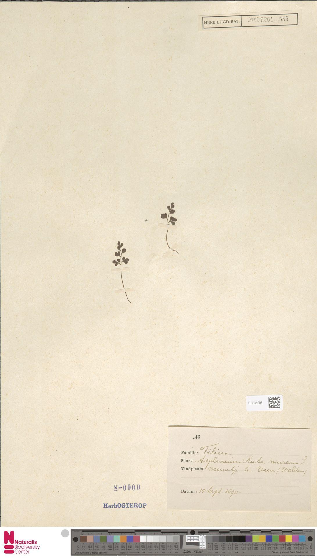 L.3045908 | Asplenium ruta-muraria L.