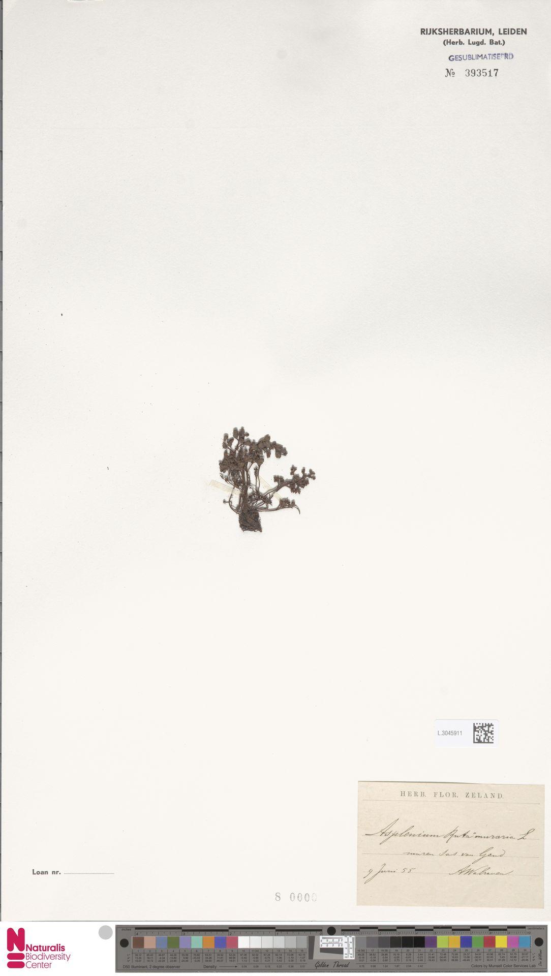 L.3045911 | Asplenium ruta-muraria L.