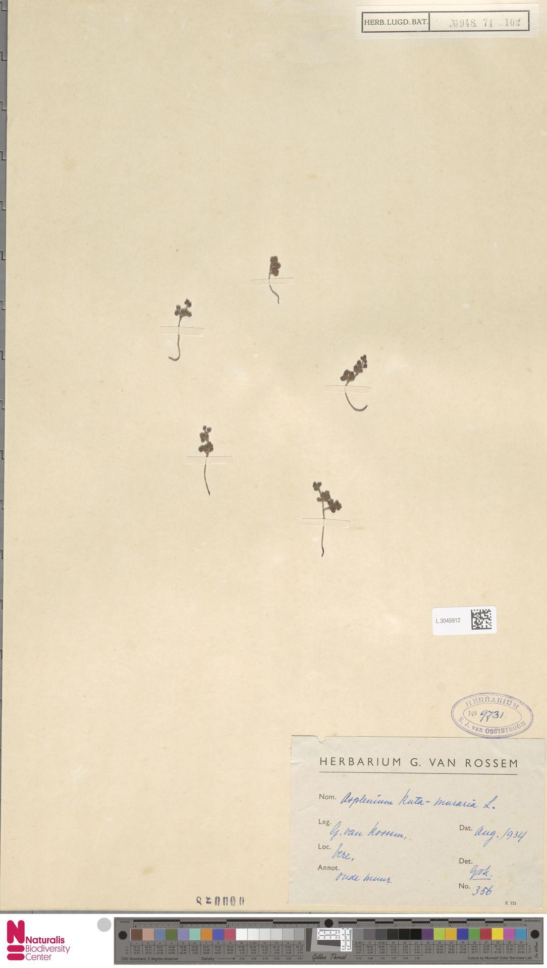 L.3045912 | Asplenium ruta-muraria L.