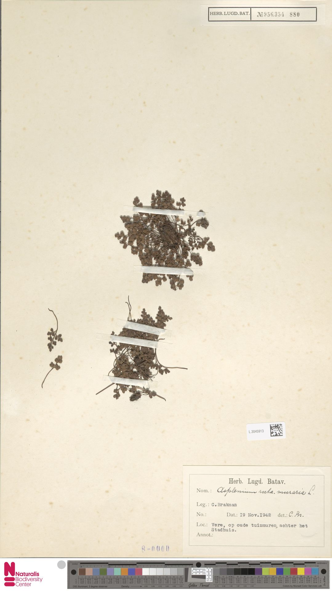 L.3045913 | Asplenium ruta-muraria L.