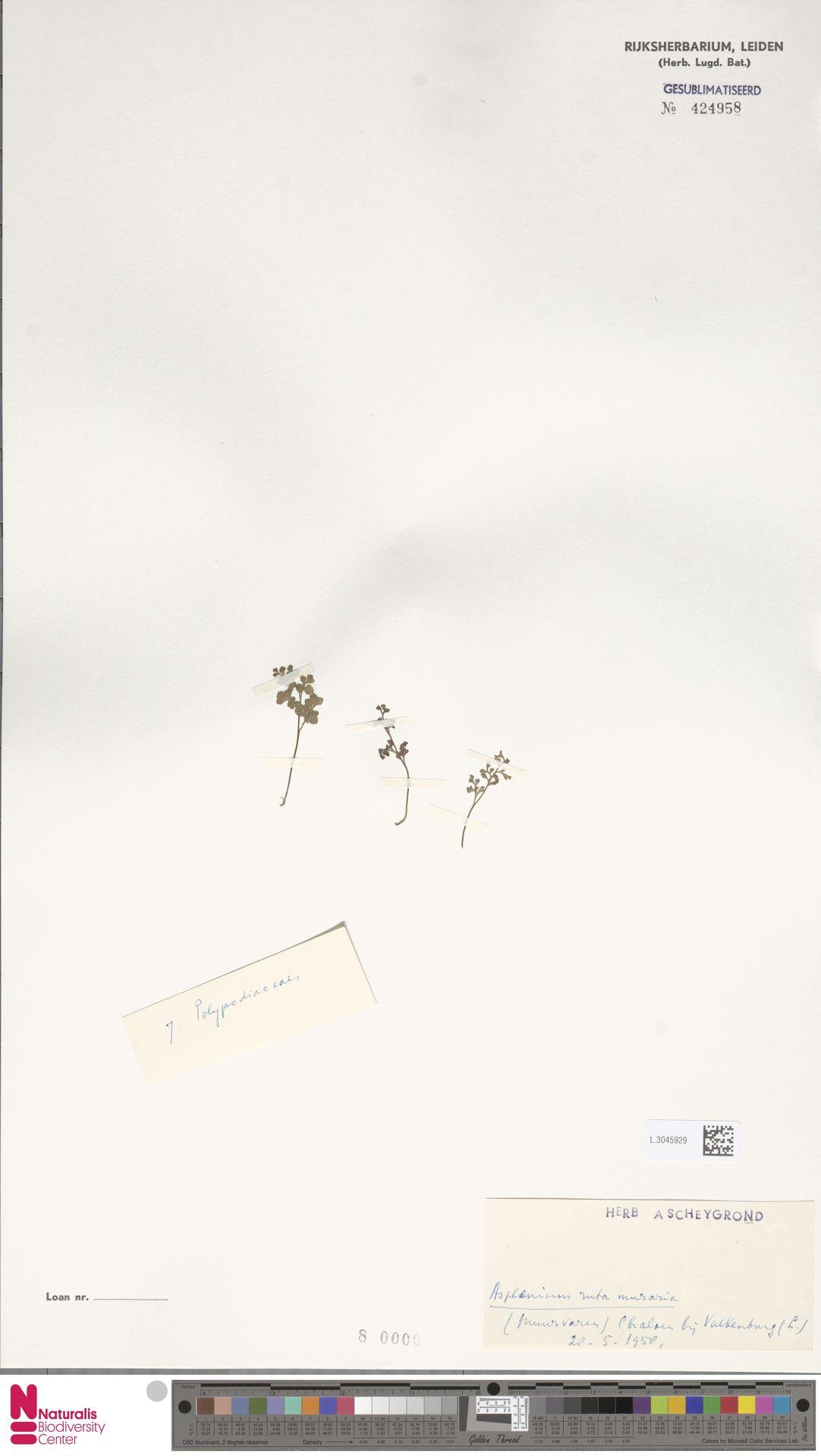 L.3045929 | Asplenium ruta-muraria L.
