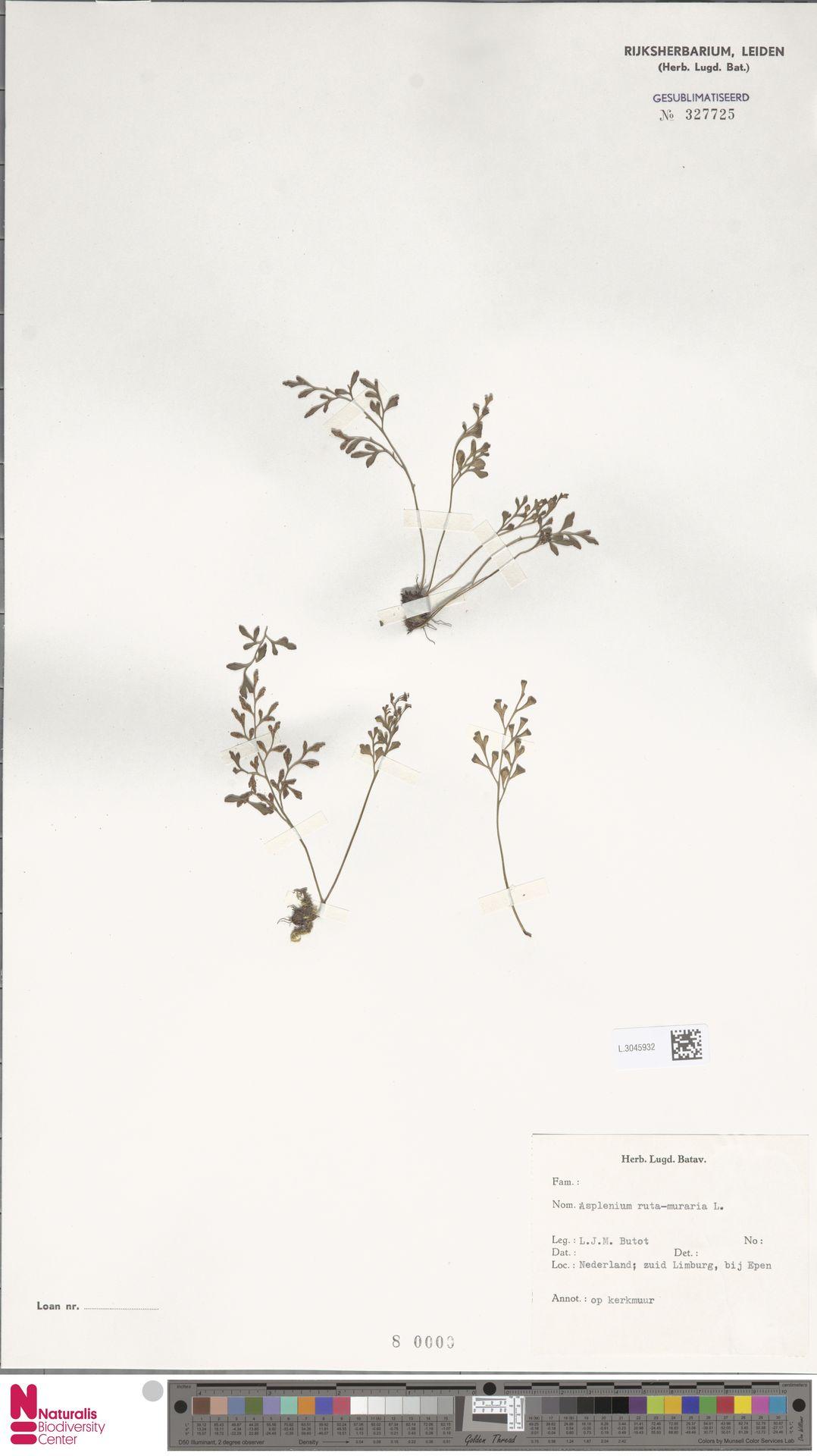 L.3045932 | Asplenium ruta-muraria L.