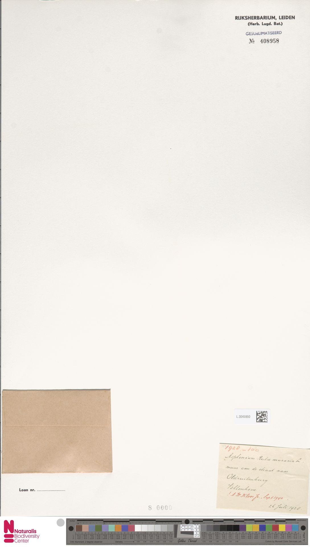L.3045950 | Asplenium ruta-muraria L.