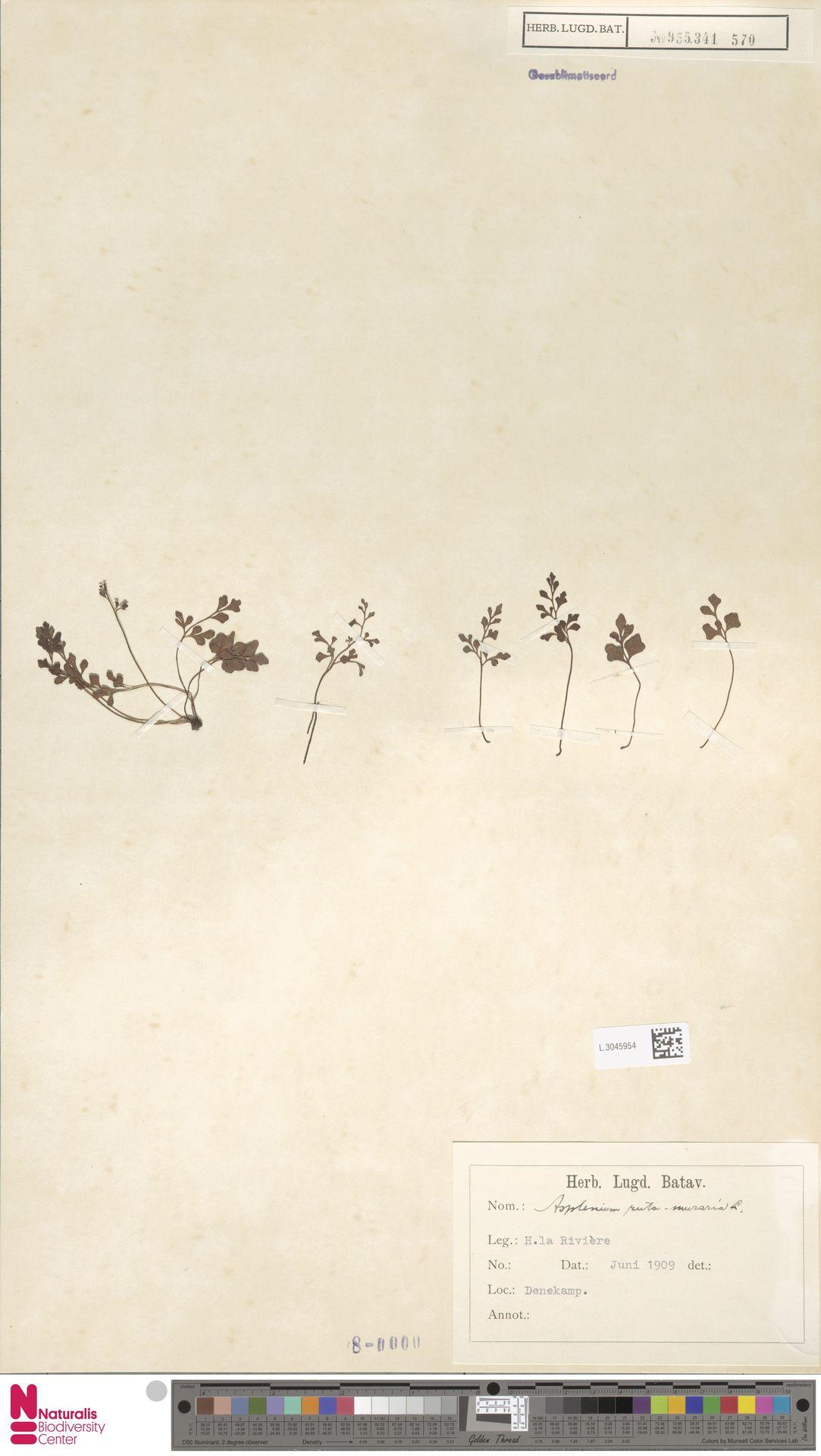 L.3045954   Asplenium ruta-muraria L.