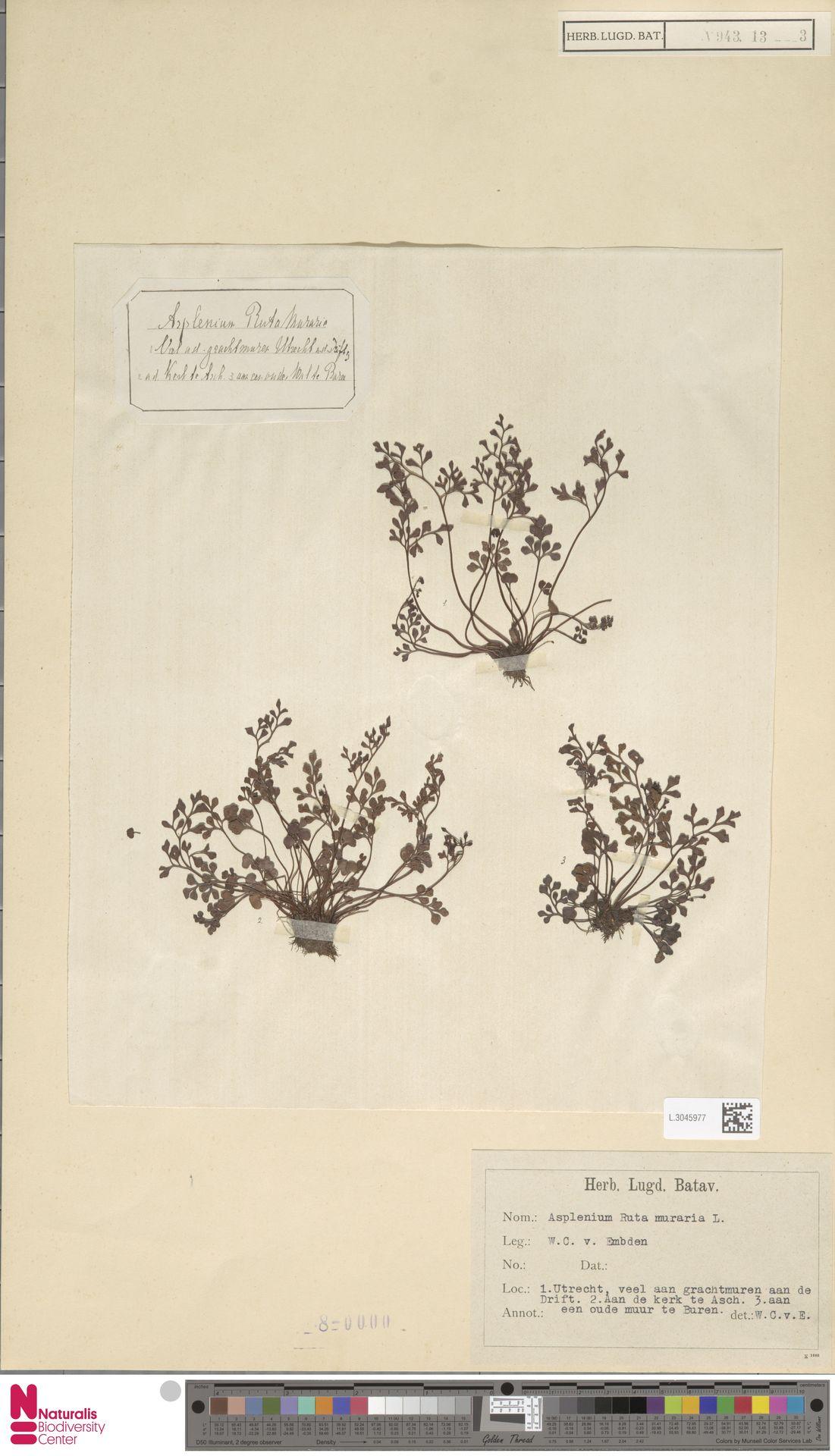 L.3045977 | Asplenium ruta-muraria L.