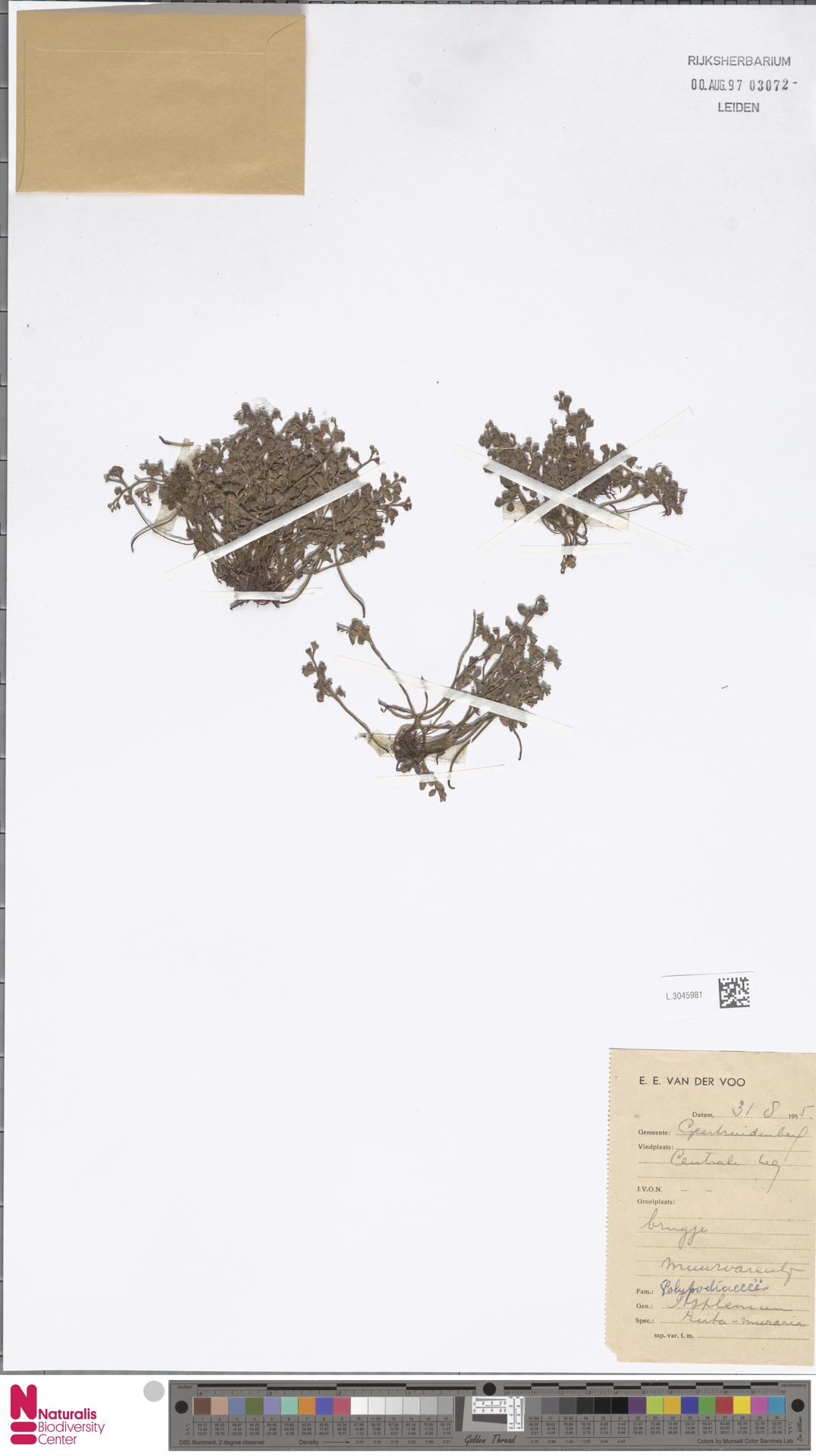 L.3045981 | Asplenium ruta-muraria L.