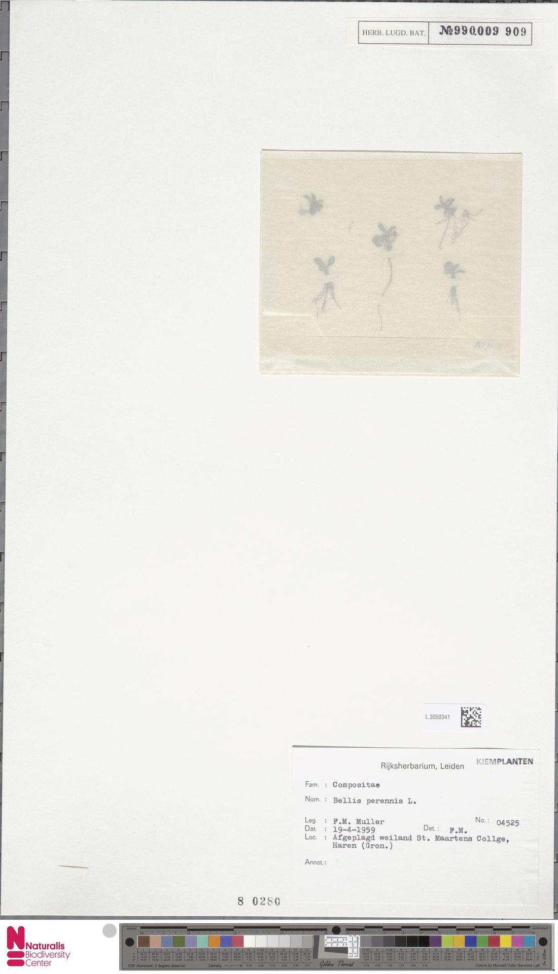L.3050341 | Bellis perennis L.