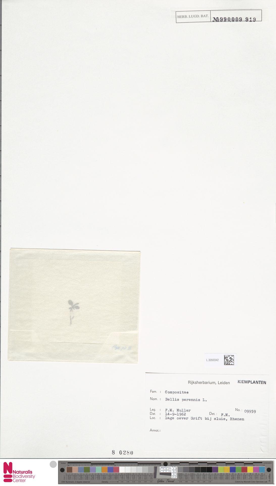 L.3050342 | Bellis perennis L.