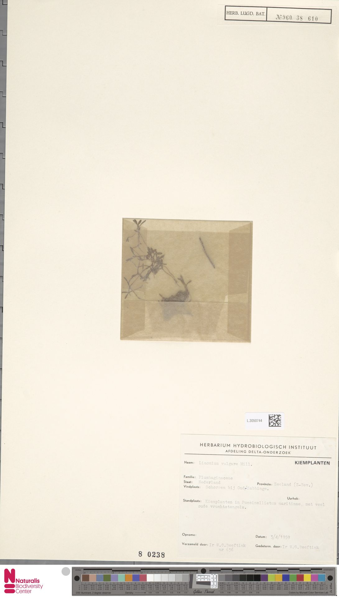 L.3050744 | Limonium vulgare Mill.