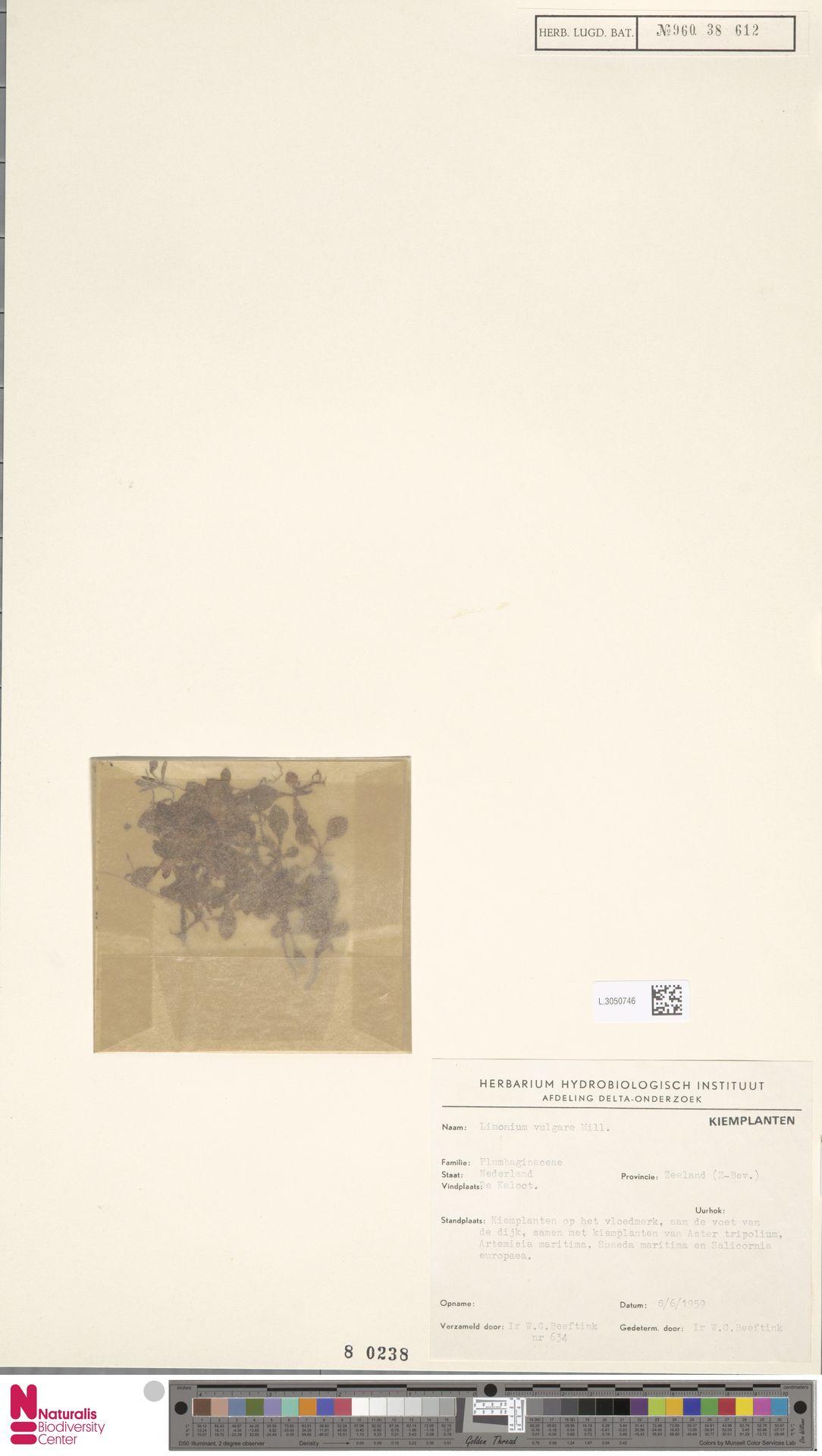 L.3050746 | Limonium vulgare Mill.