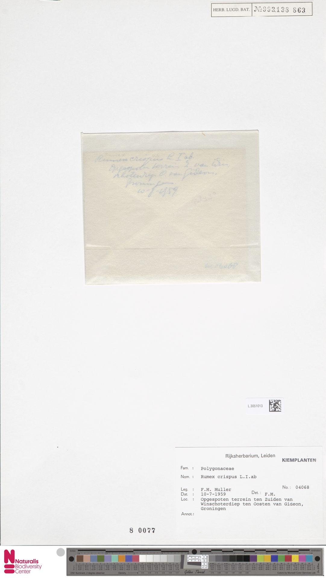 L.3051013 | Rumex crispus L.