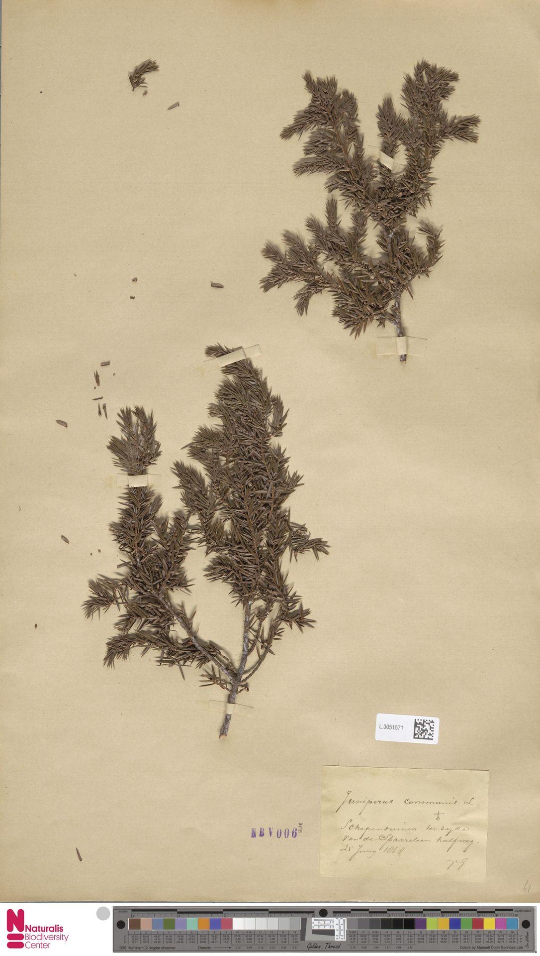 L.3051571 | Juniperus communis L.